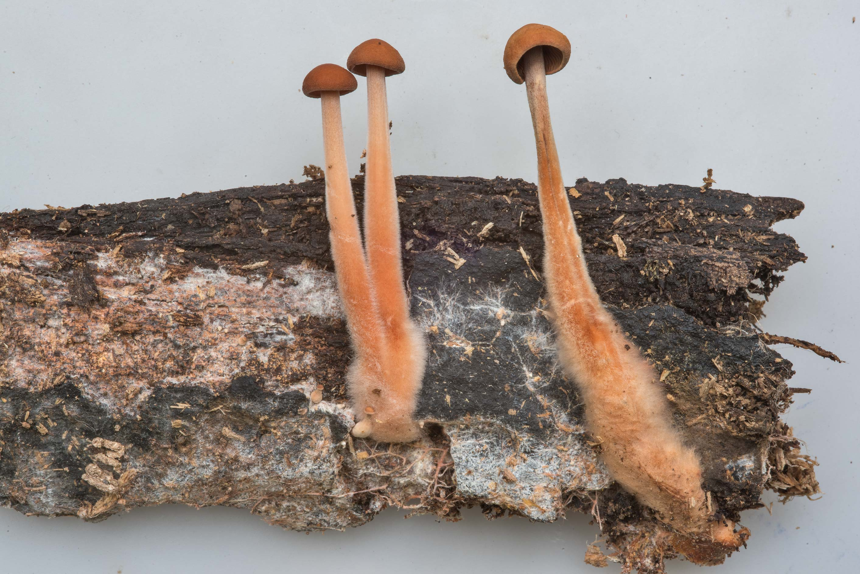Close up of Gymnopus spongiosus mushrooms on...Nature Trail. College Station, Texas