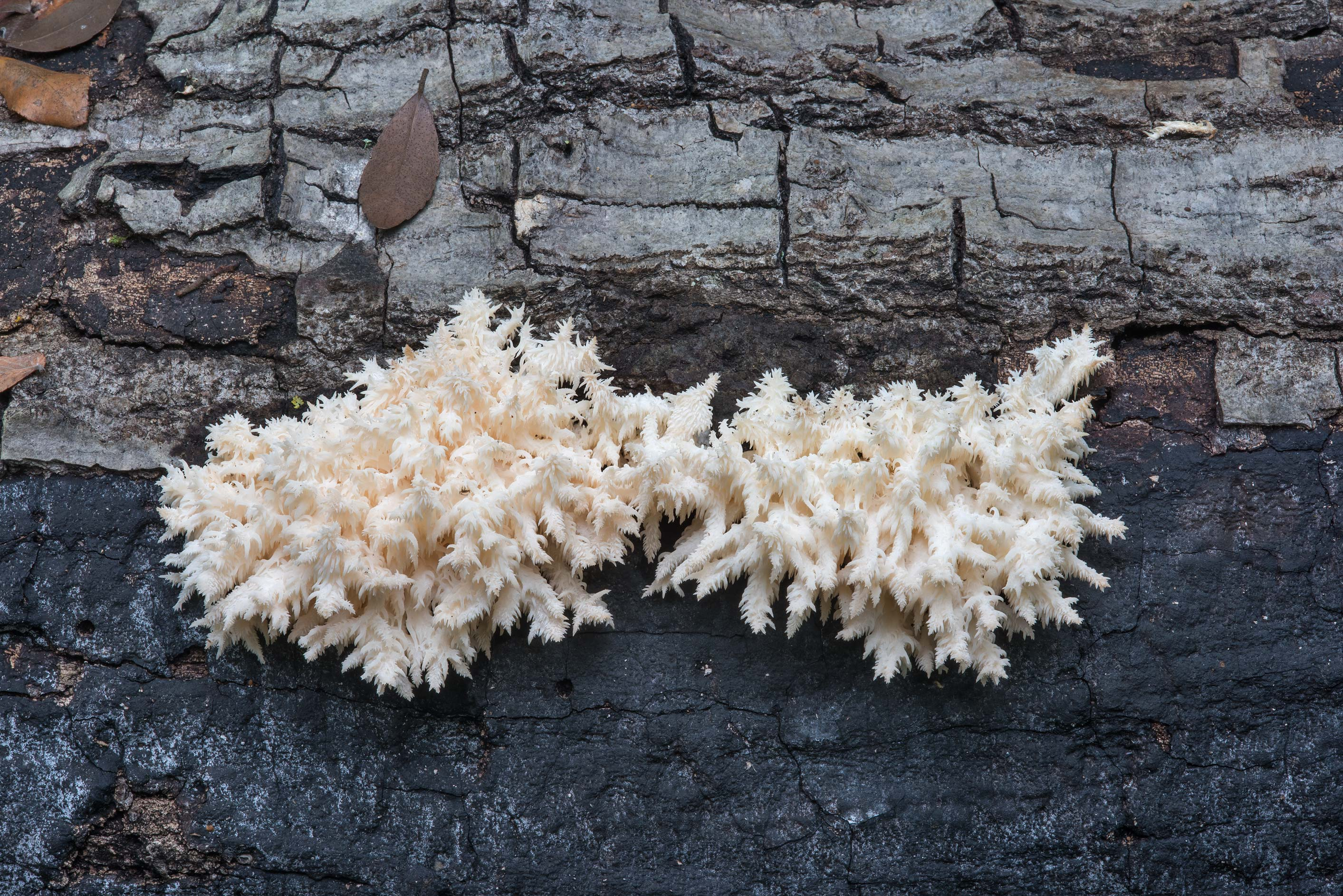 Young coral tooth mushroom (comb tooth, Hericium...Nature Trail. College Station, Texas