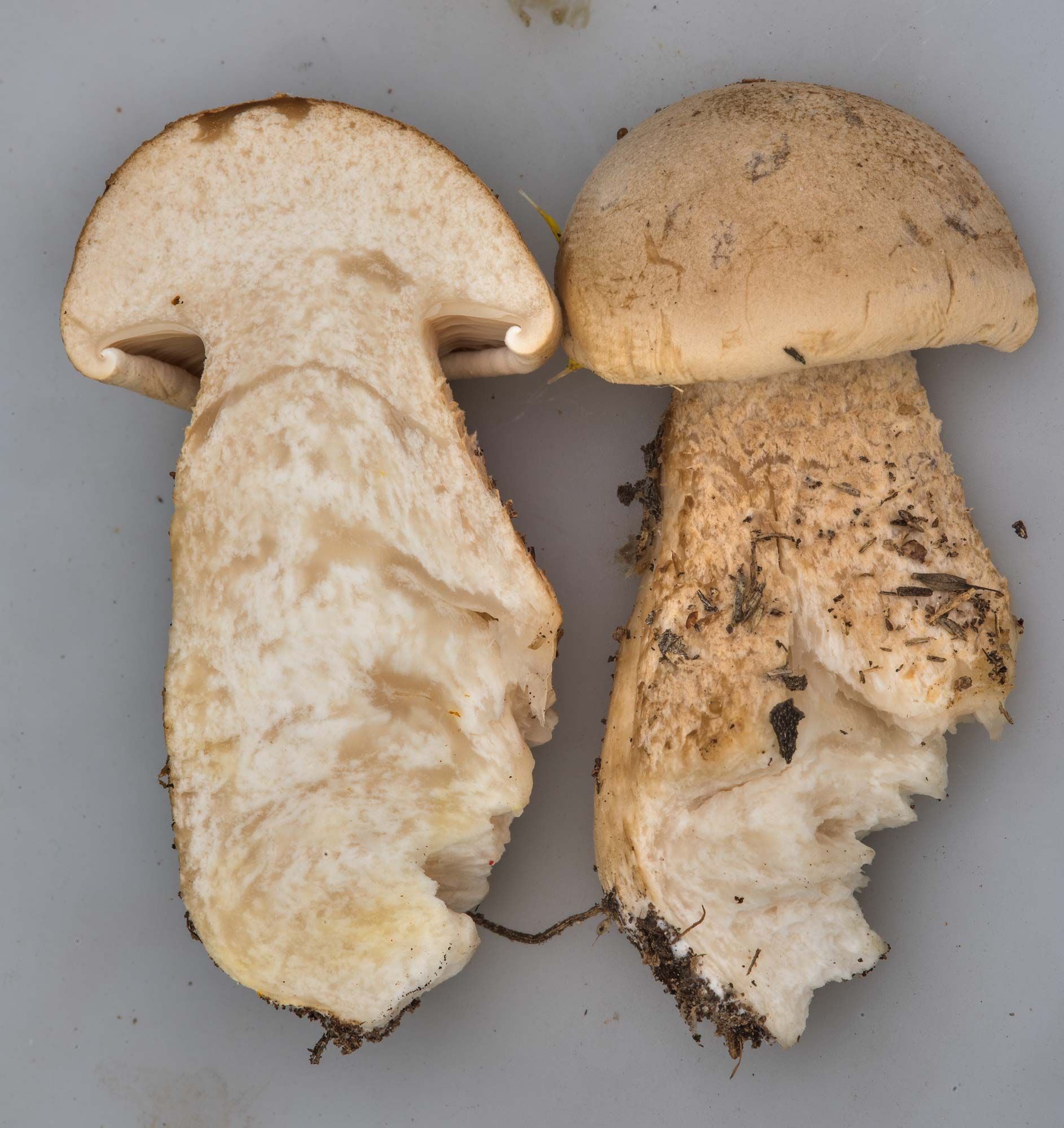 Dissected mushroom Macrocybe titans from a lawn in Lemontree Park. College Station, Texas
