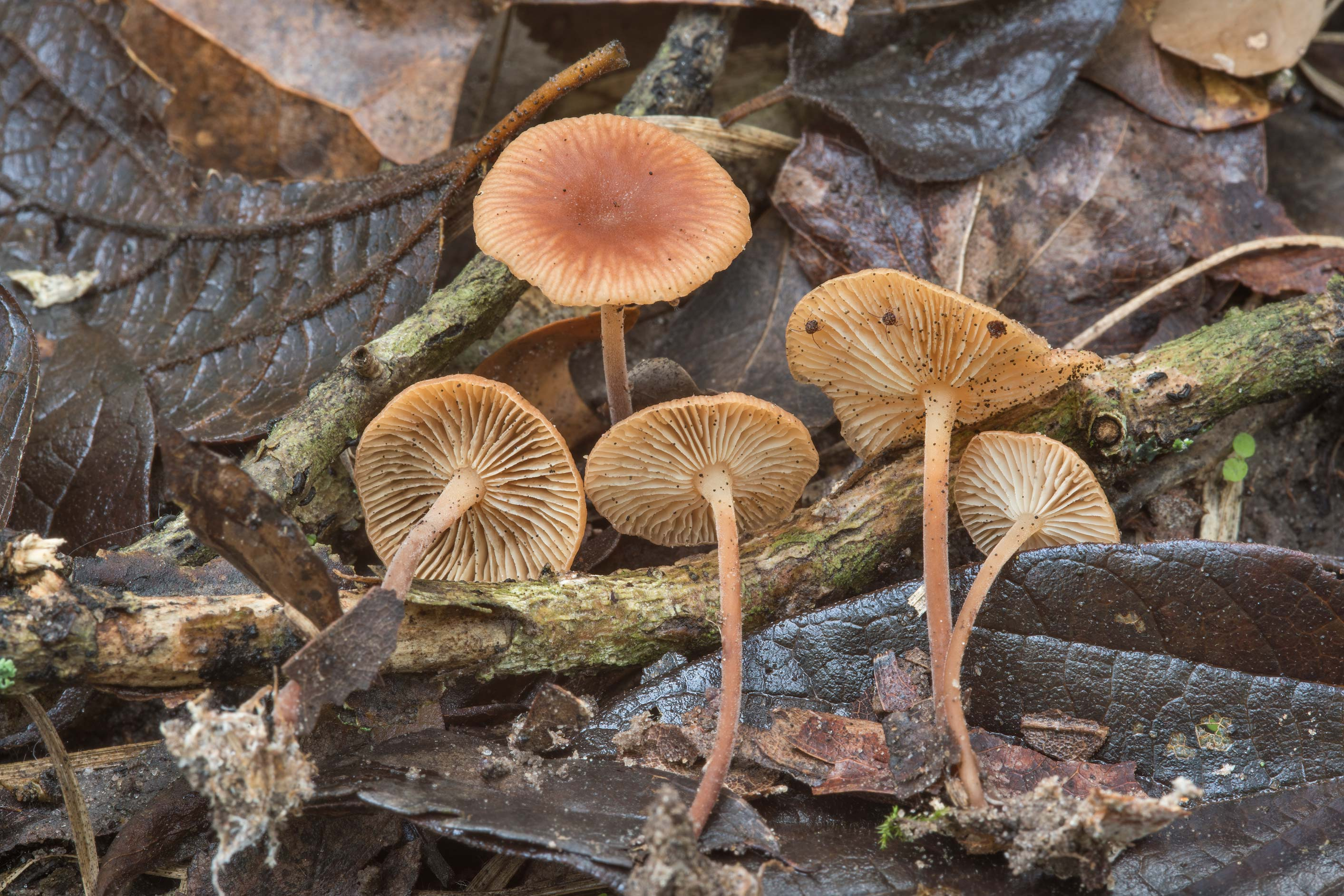 Gymnopus spongiosus mushrooms on Kiwanis Nature Trail. College Station, Texas