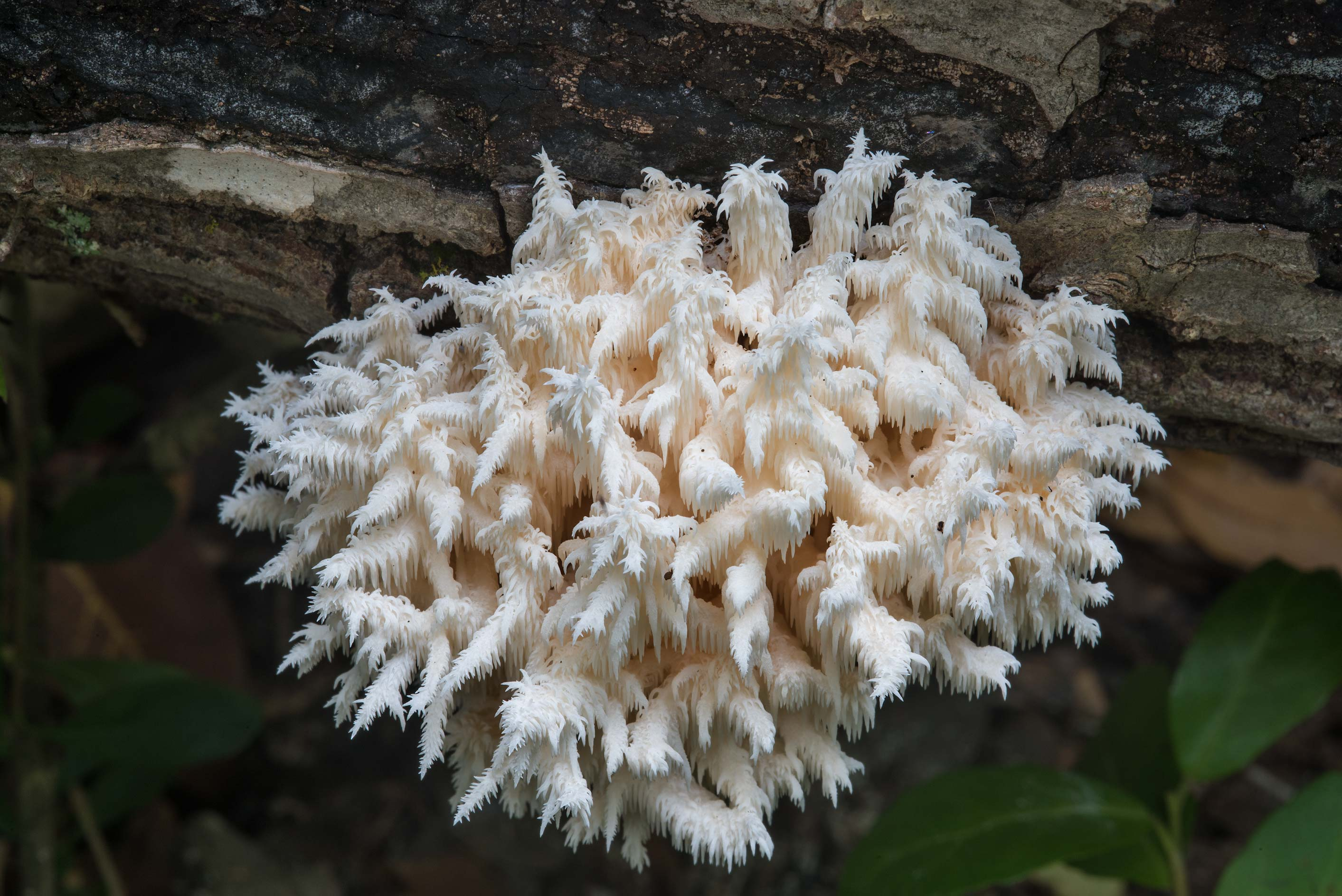 Coral tooth mushroom (Hericium coralloides) on a...Nature Trail. College Station, Texas