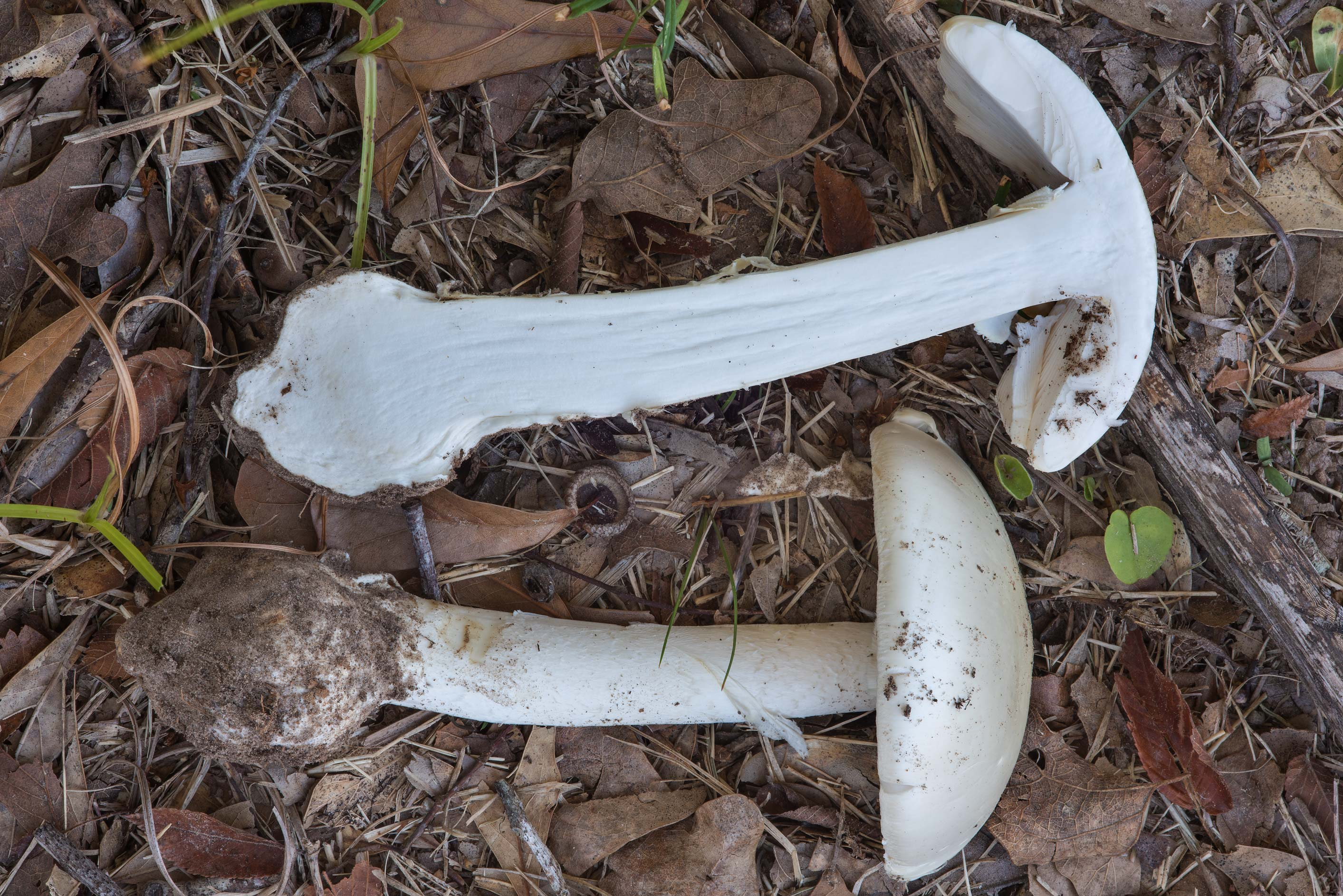 Dissected destroying angel mushroom Amanita...Pen Creek Park. College Station, Texas