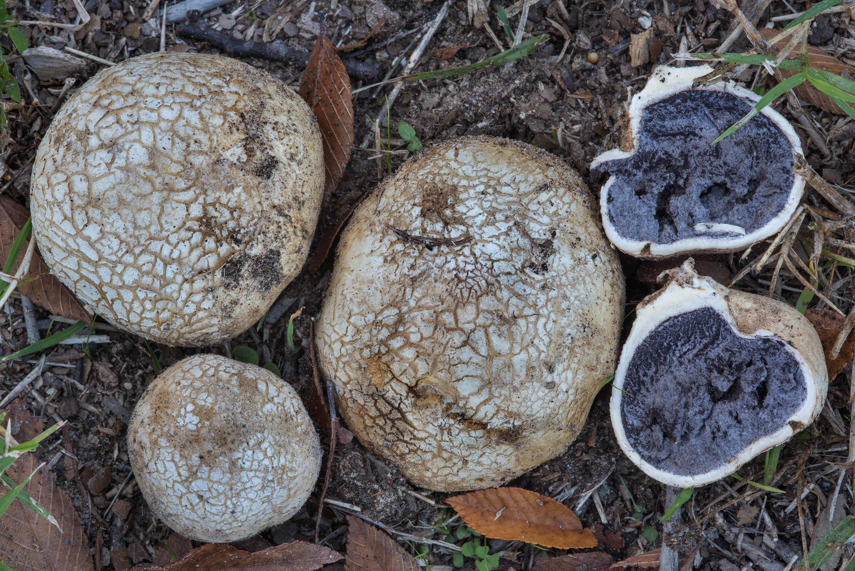 Tuff puffball mushrooms (Scleroderma texense) in...Ashburn St.. College Station, Texas