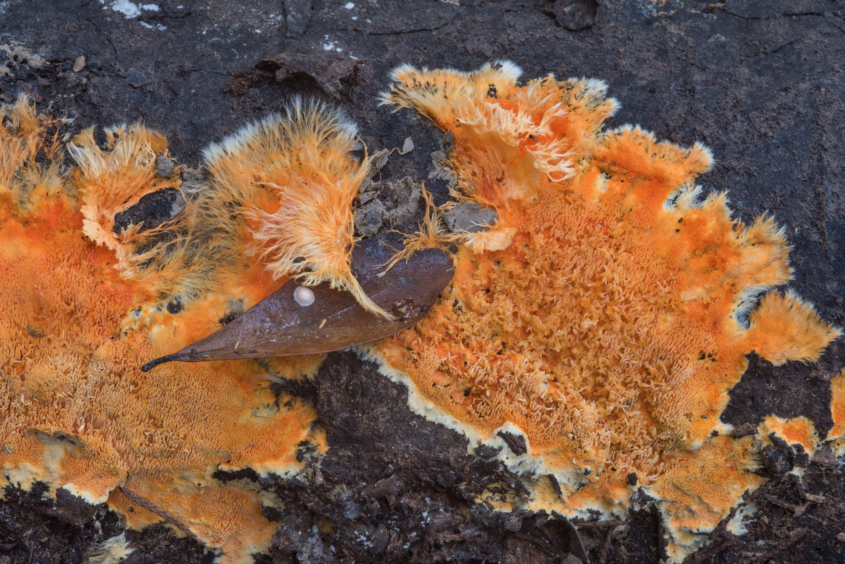 Bright orange crust fungus Hydnophlebia...Nature Trail. College Station, Texas