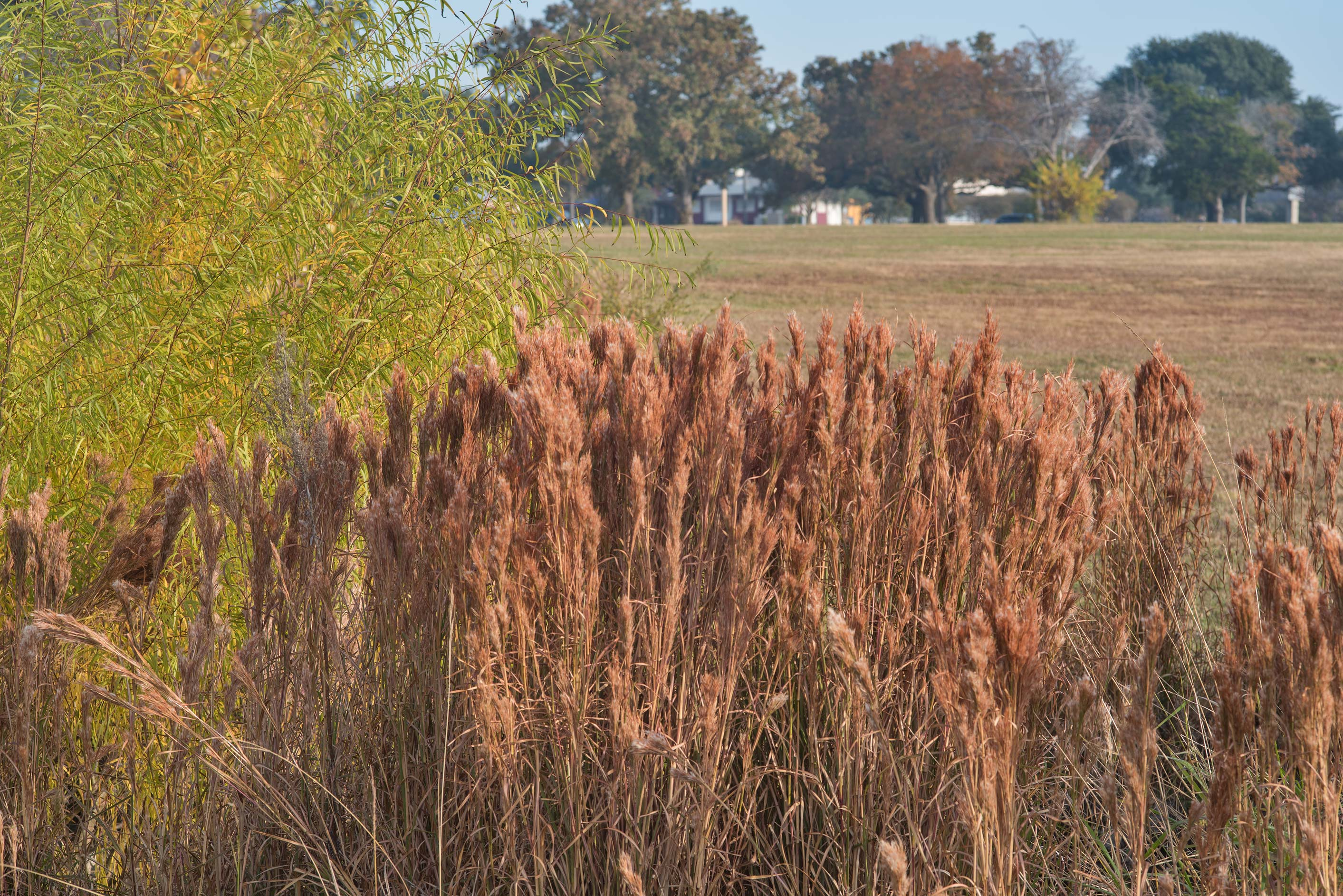 Bushy bluestem (Andropogon glomeratus) grass on...M University. College Station, Texas