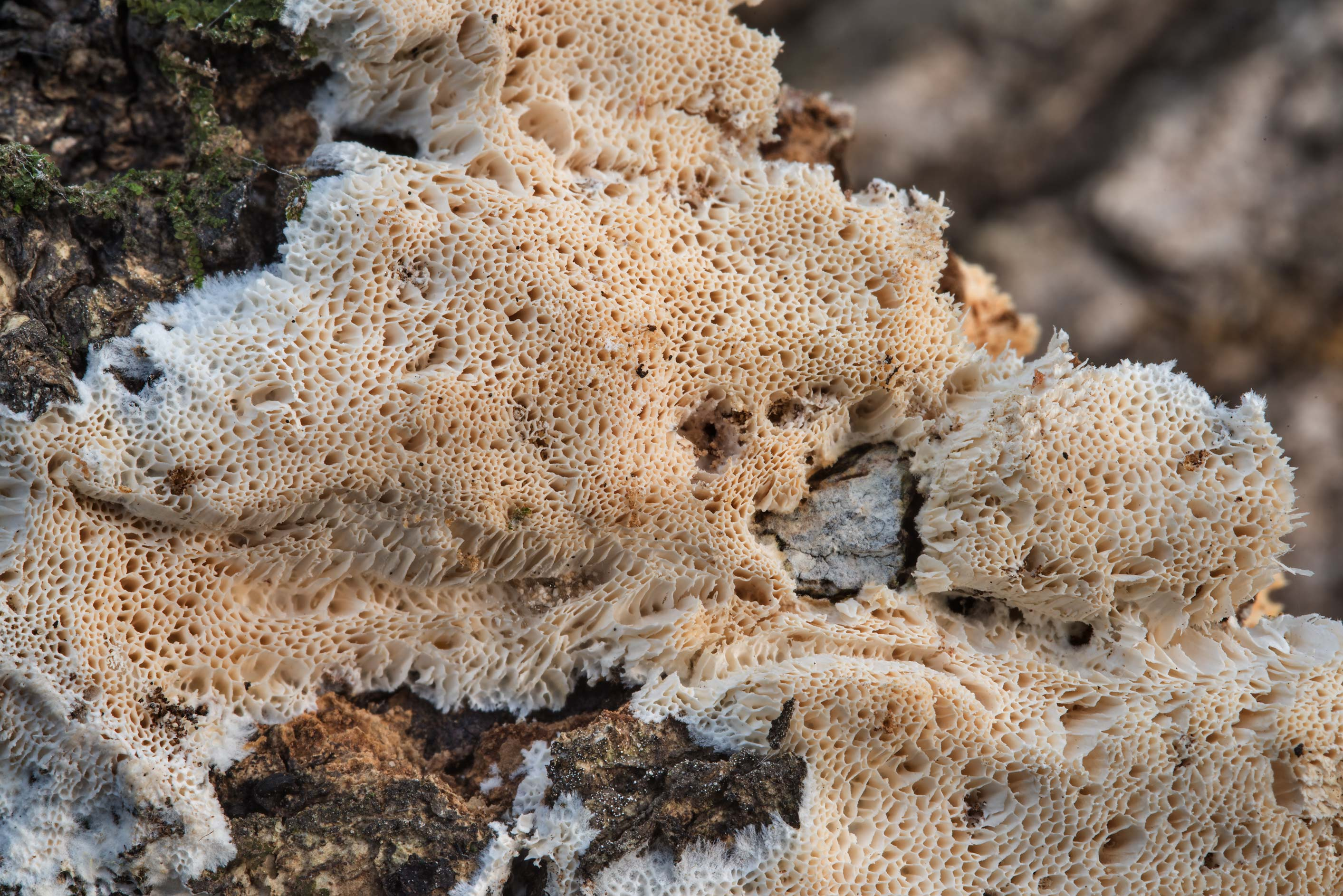 Spreading porous fungus on a dry oak branch in Hensel Park. College Station, Texas