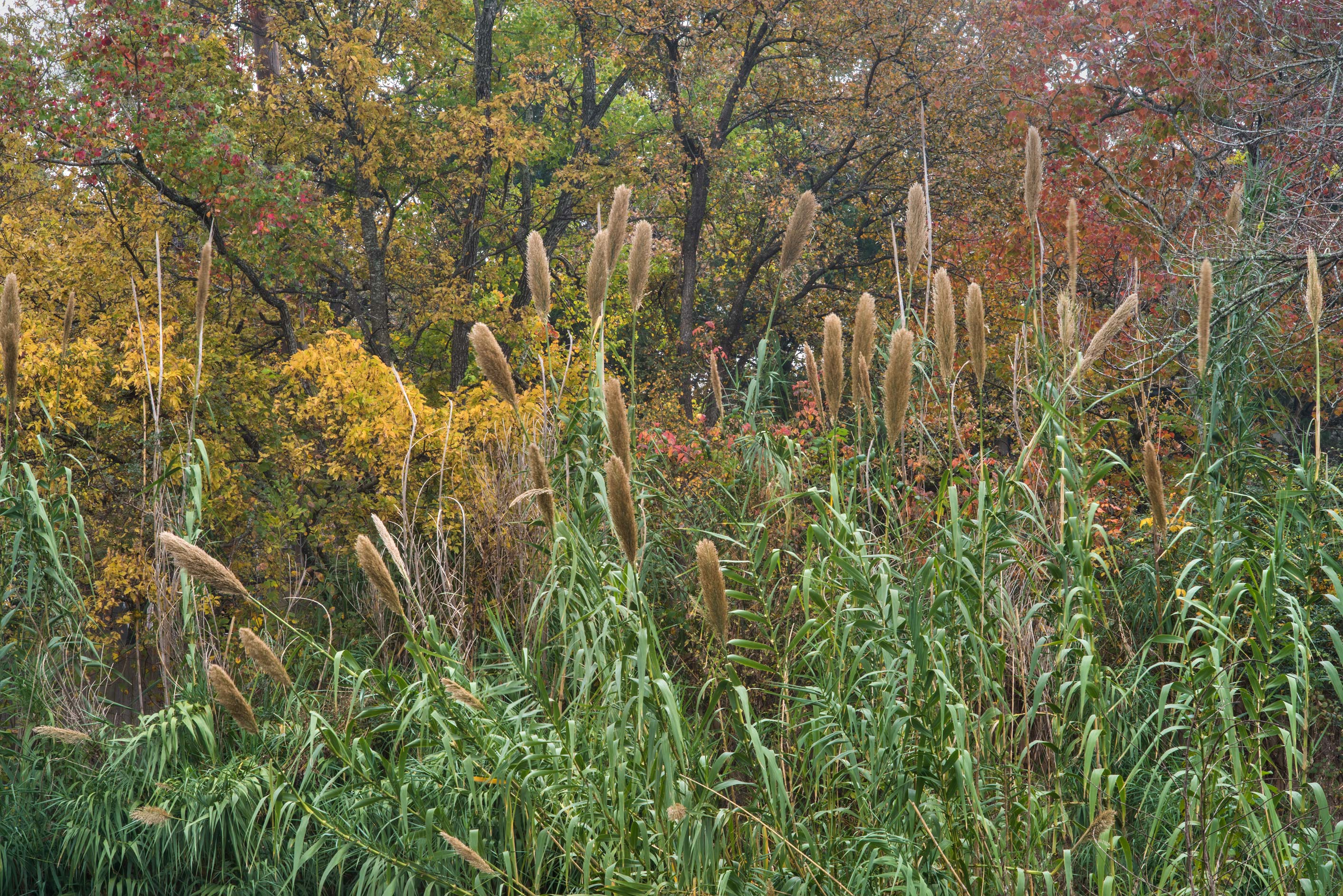 Reeds (giant cane, Arundo donax) in Bee Creek Park. College Station, Texas