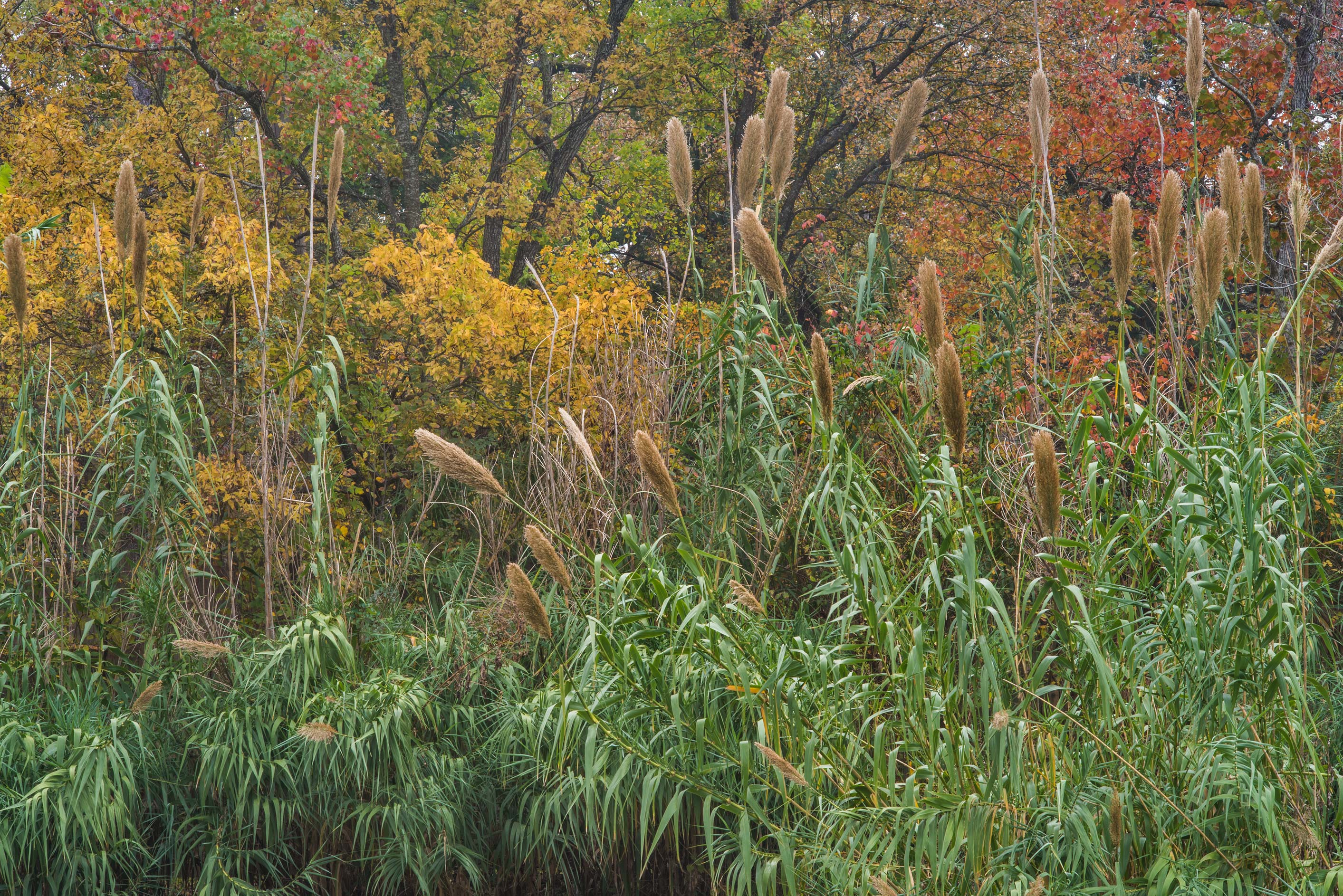 Reeds (giant cane, Arundo donax) with fall colors...Bee Creek Park. College Station, Texas