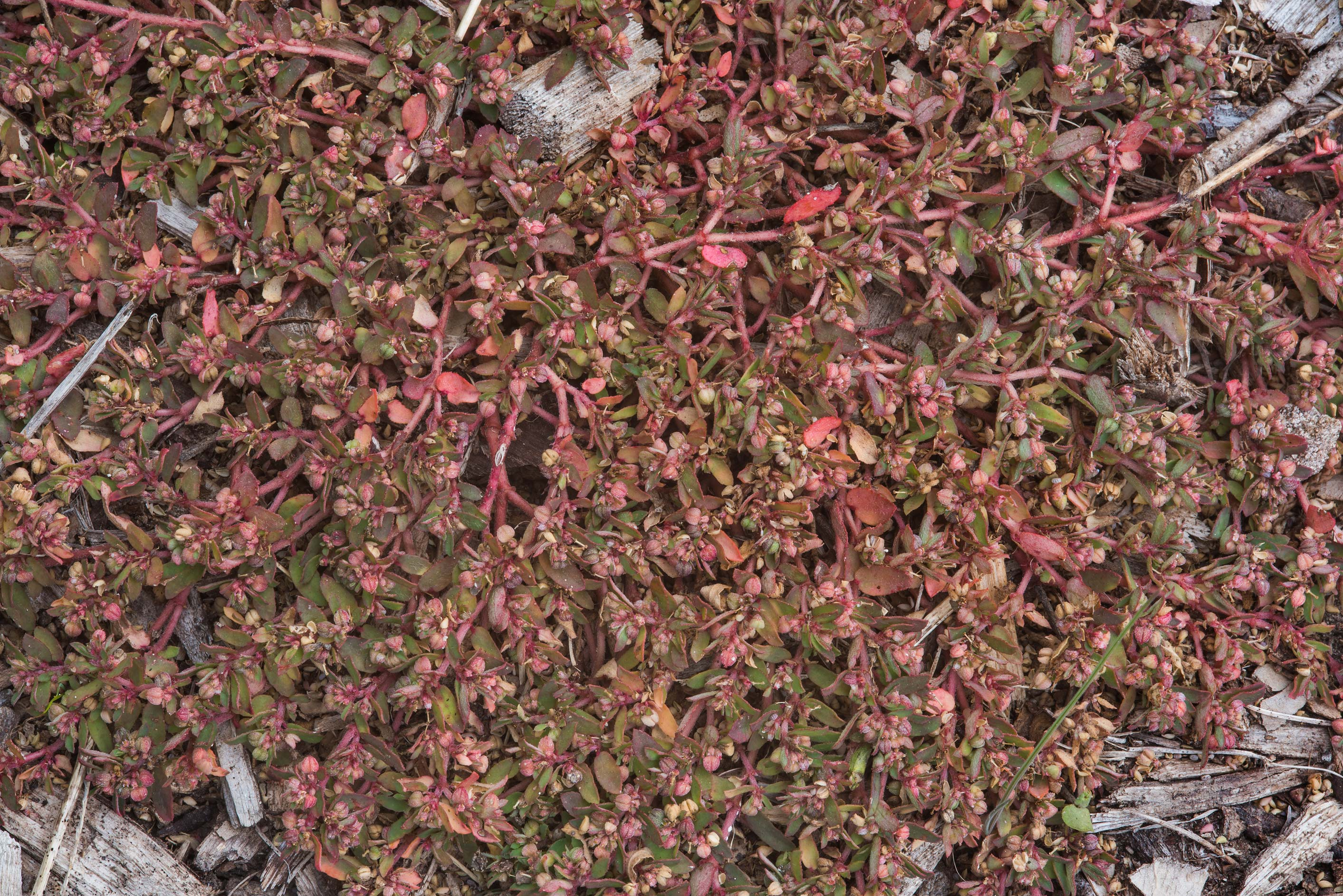 Reddish mat of creeping spurge (Euphorbia) in D...Bee Creek Park. College Station, Texas
