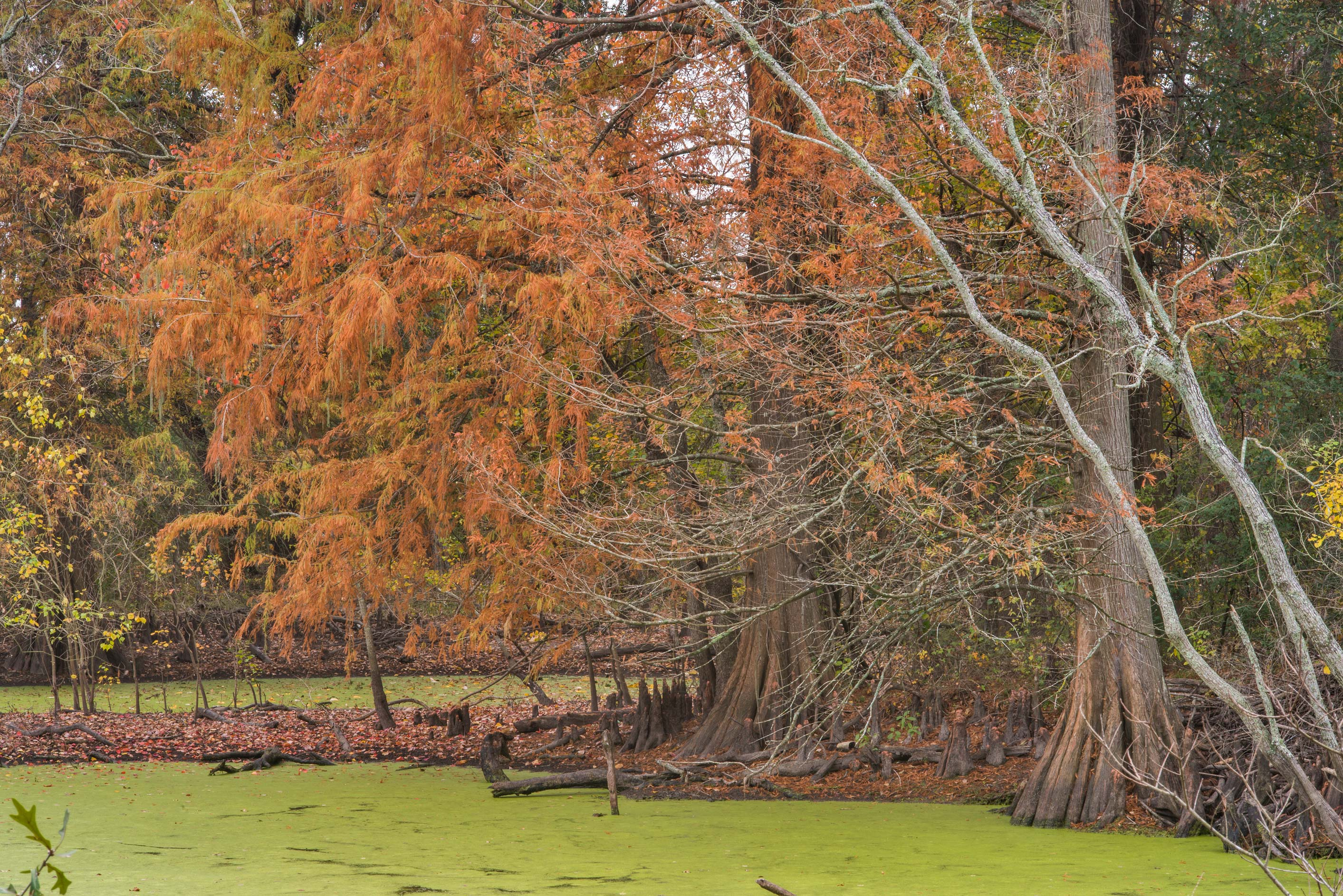 A pond with a swamp cypress in D. A. Andy...Bee Creek Park. College Station, Texas