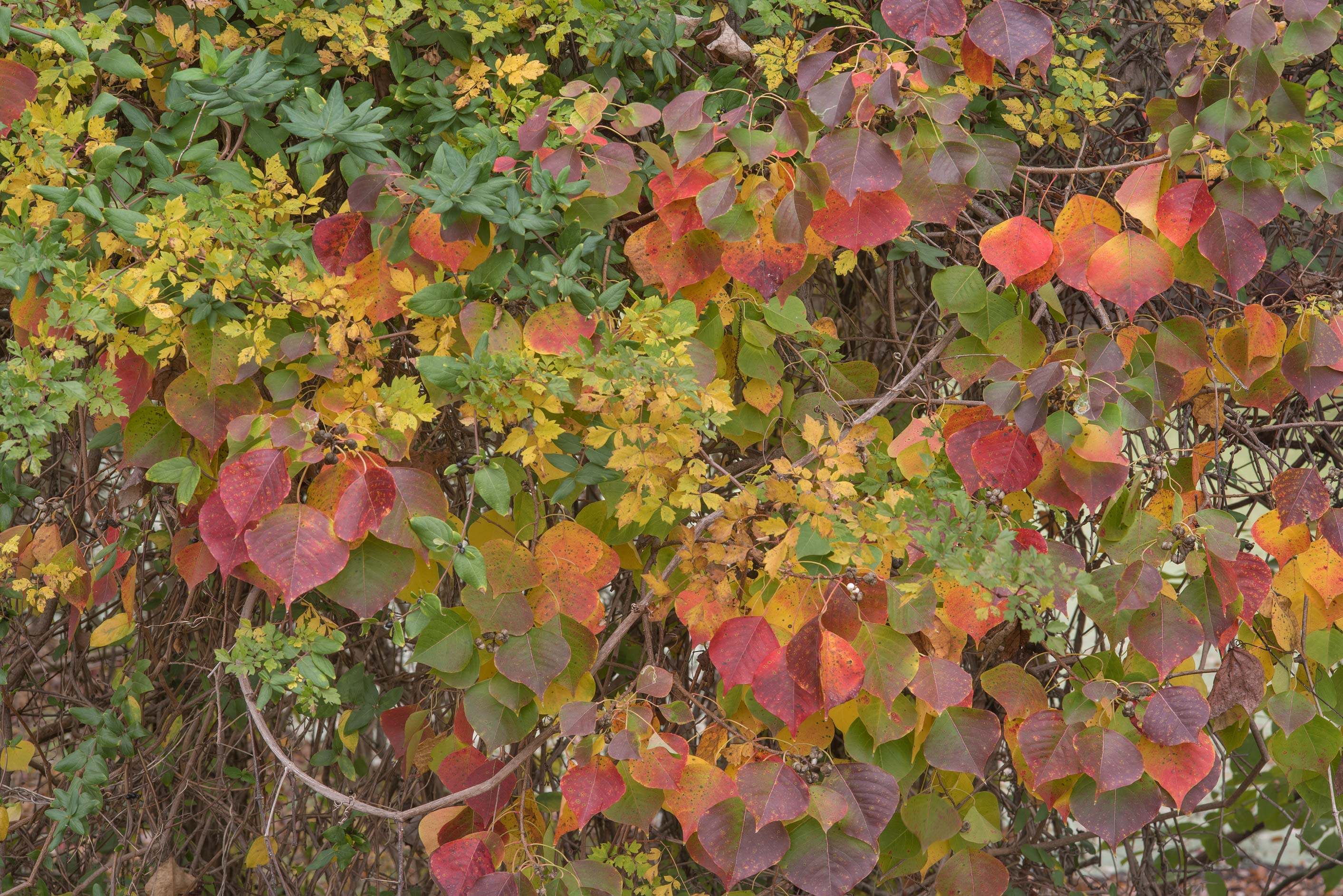 Fall colors of Chinese tallow (Sapium sebiferum...Bee Creek Park. College Station, Texas