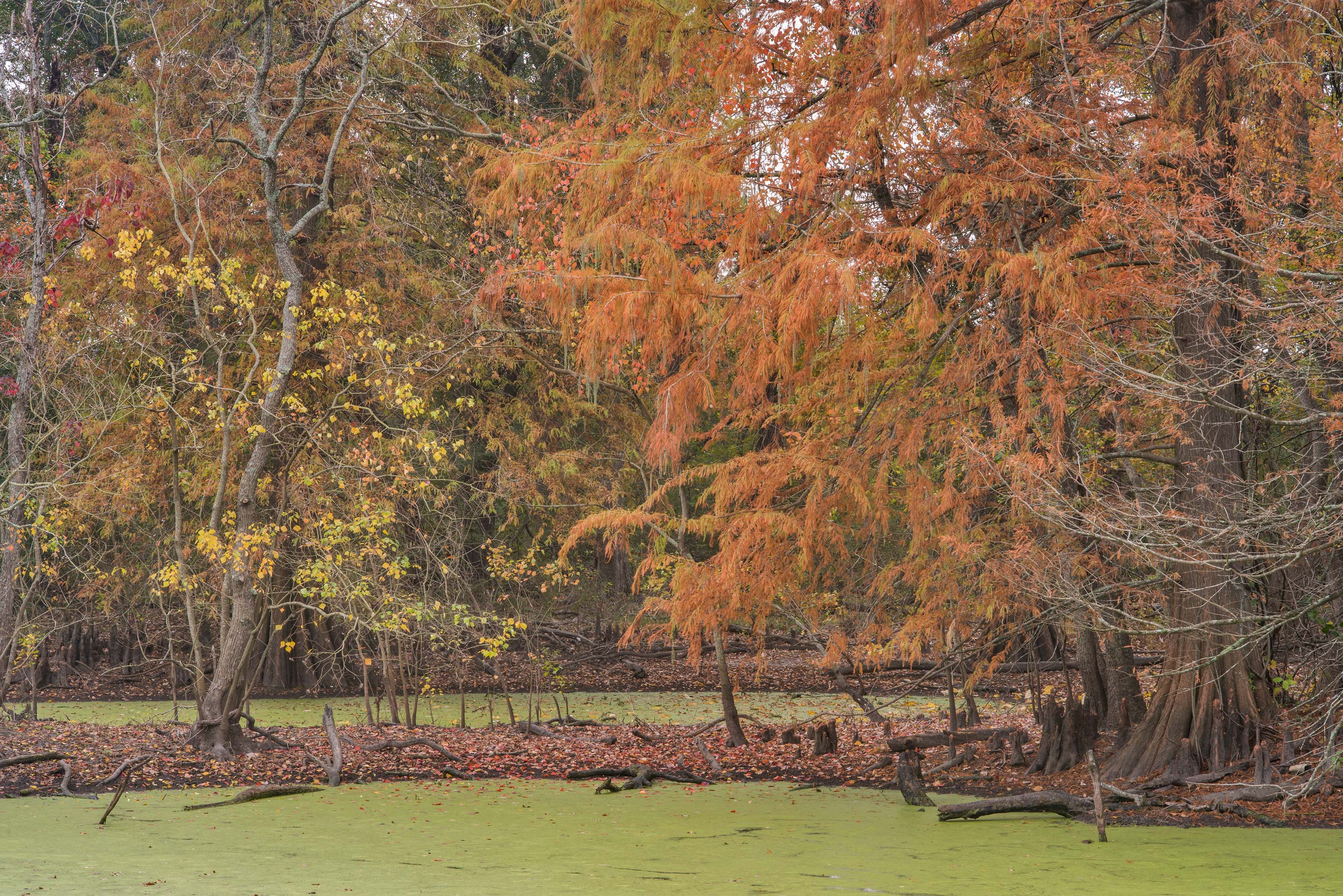 Foliage of a cypress pond in D. A. Andy Anderson...Bee Creek Park. College Station, Texas