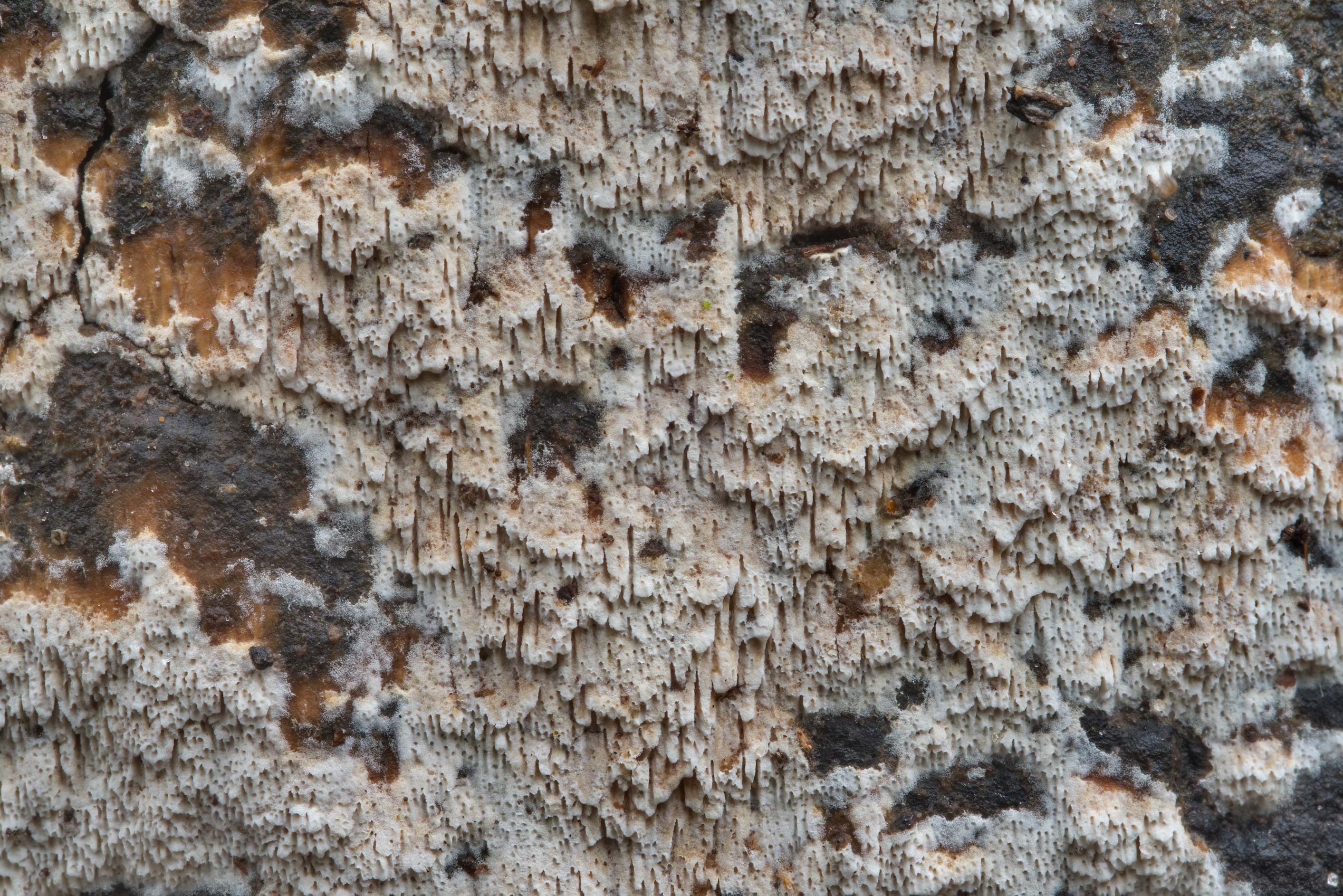 Texture of a poroid fungus on a stump on Kiwanis Nature Trail. College Station, Texas