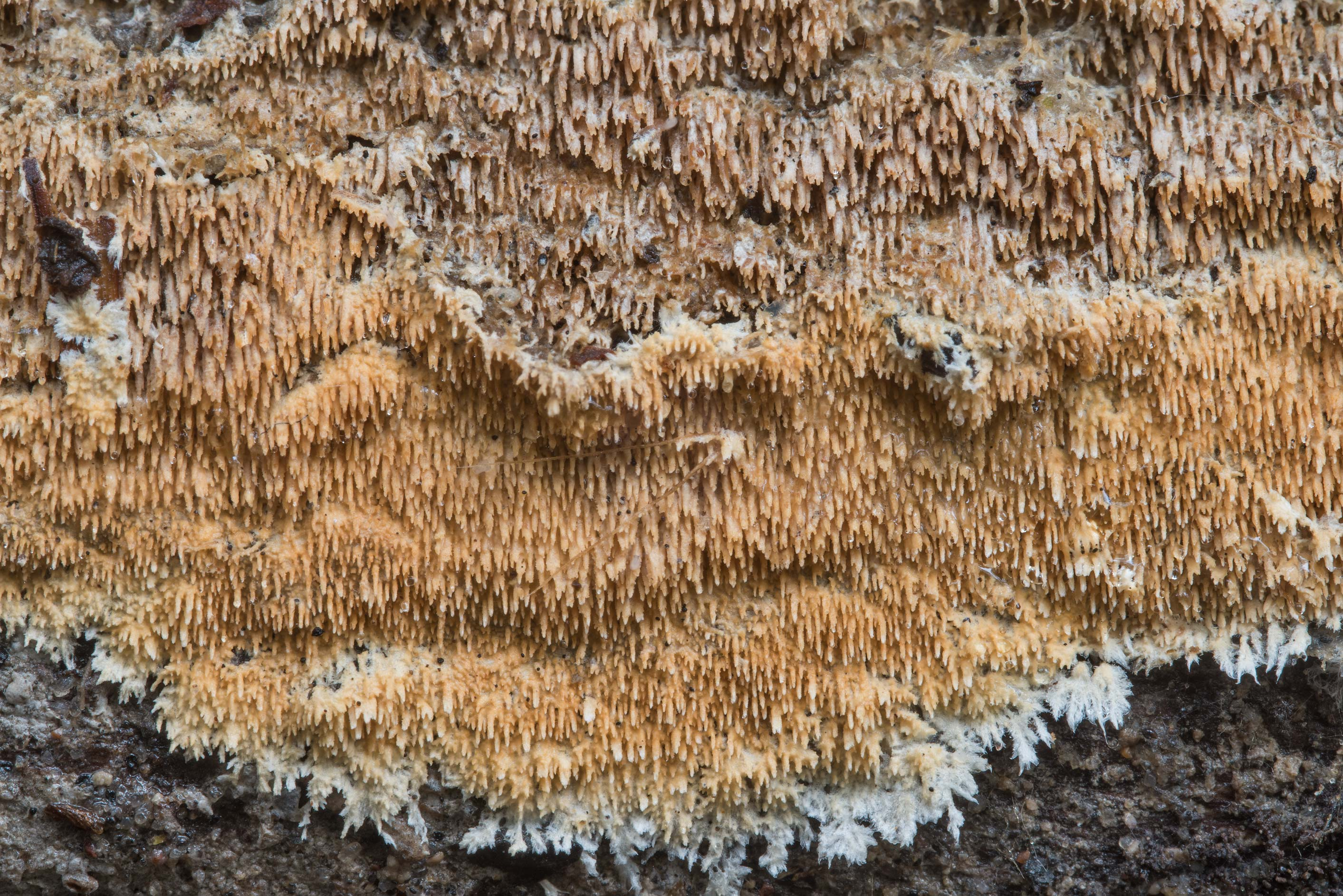 Brown hydnoid fungus on a log on Kiwanis Nature Trail. College Station, Texas