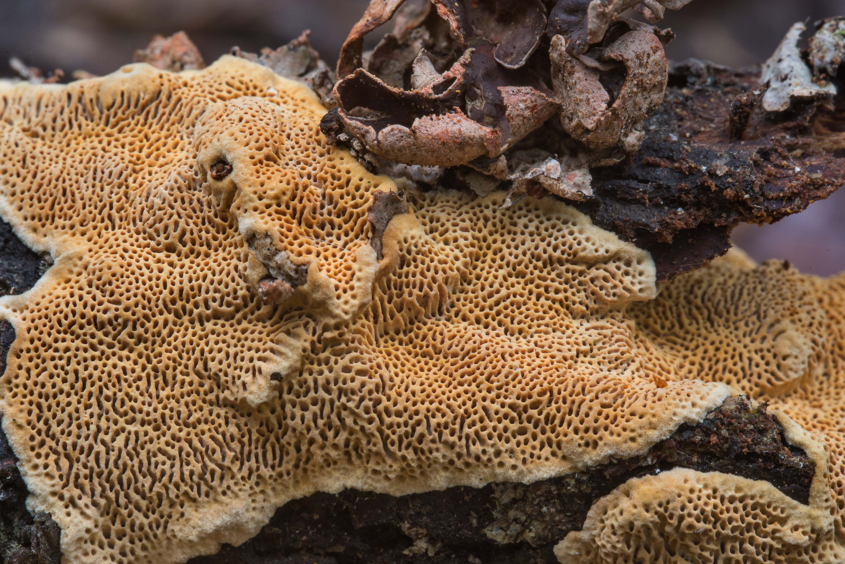 Close up of brown corticioid polypore fungus...Nature Trail. College Station, Texas