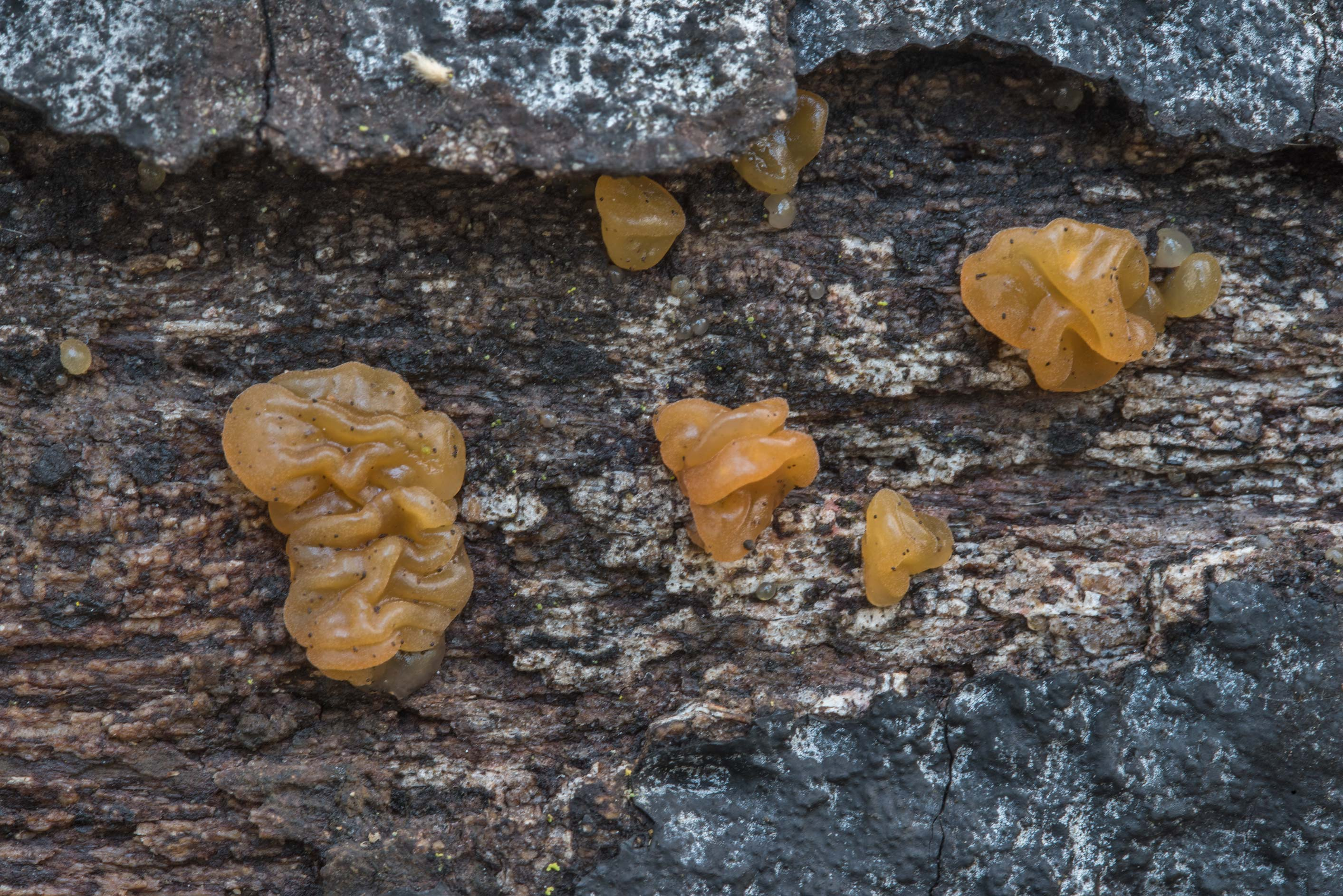 Close up of Dacrymyces capitatus mushrooms on an...Nature Trail. College Station, Texas
