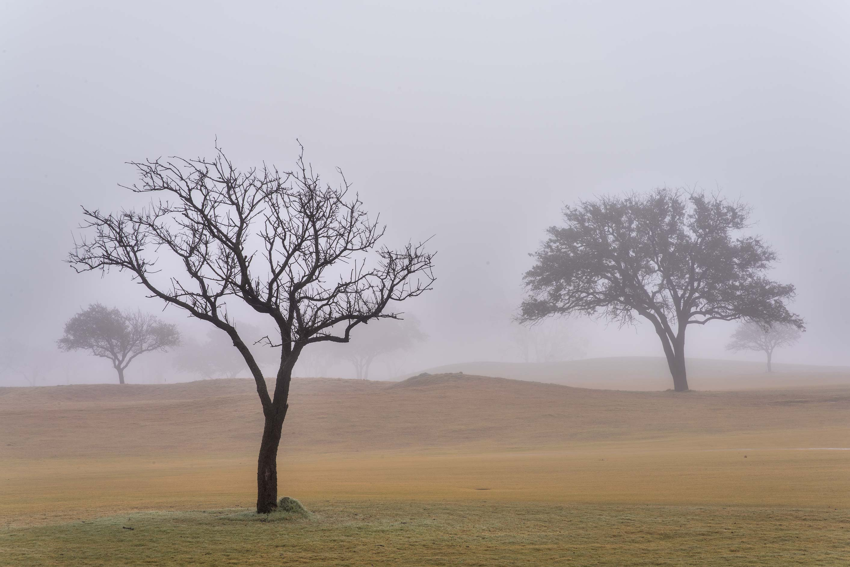 Tree silhouettes in fog on Texas A&M Campus golf course. College Station, Texas