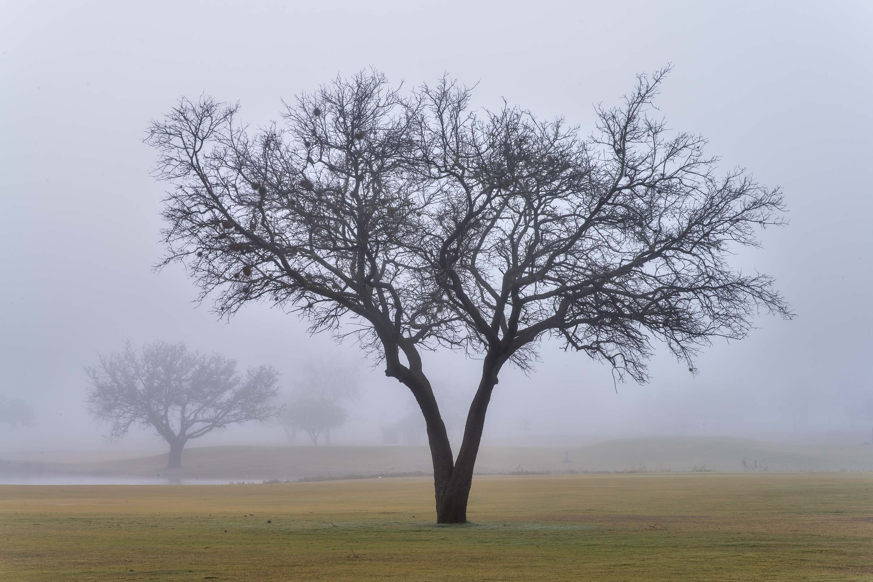 Tree silhouette in fog on Texas A&M Campus golf course. College Station, Texas