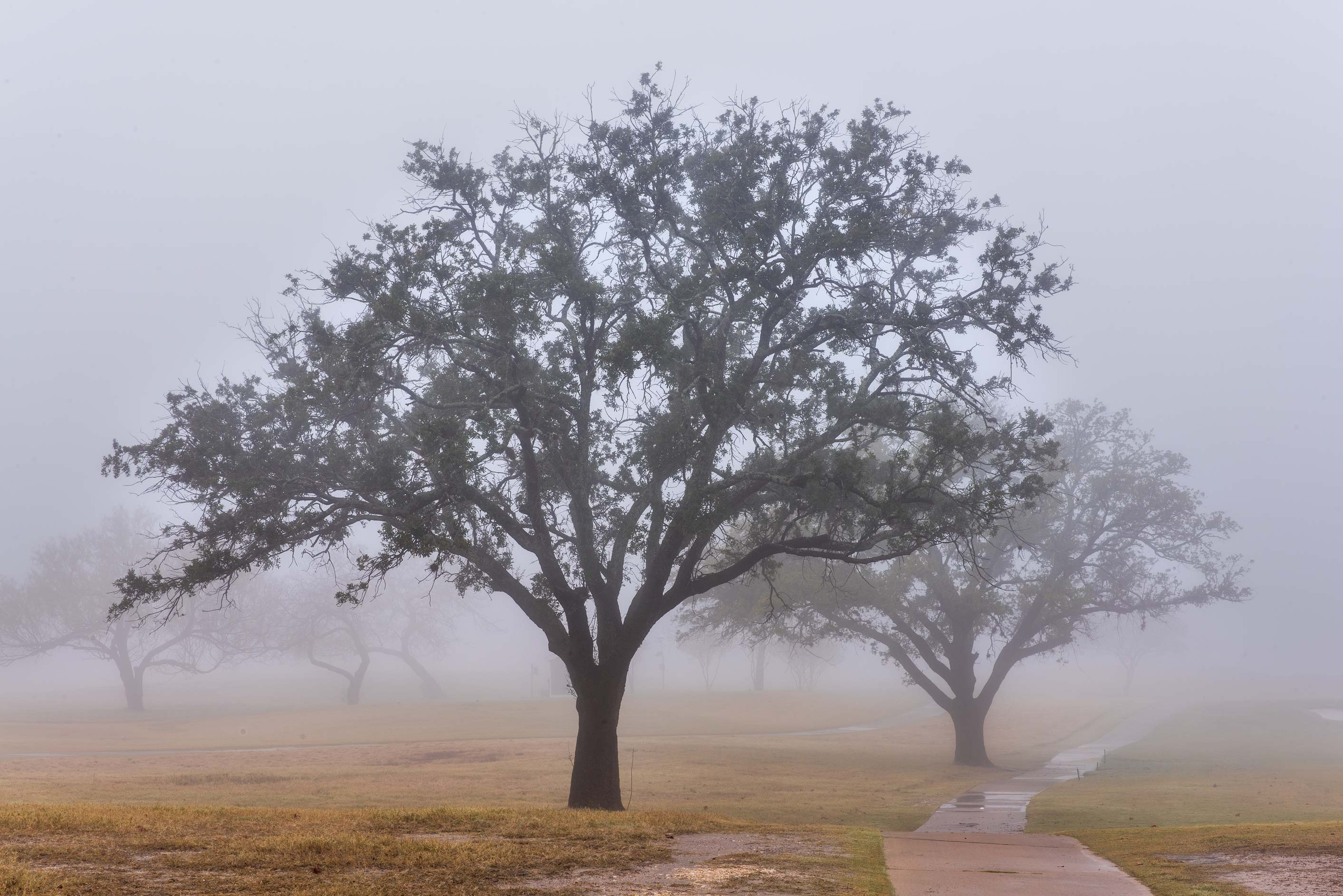 Outlines of live oaks on Texas A&M Campus golf course. College Station, Texas