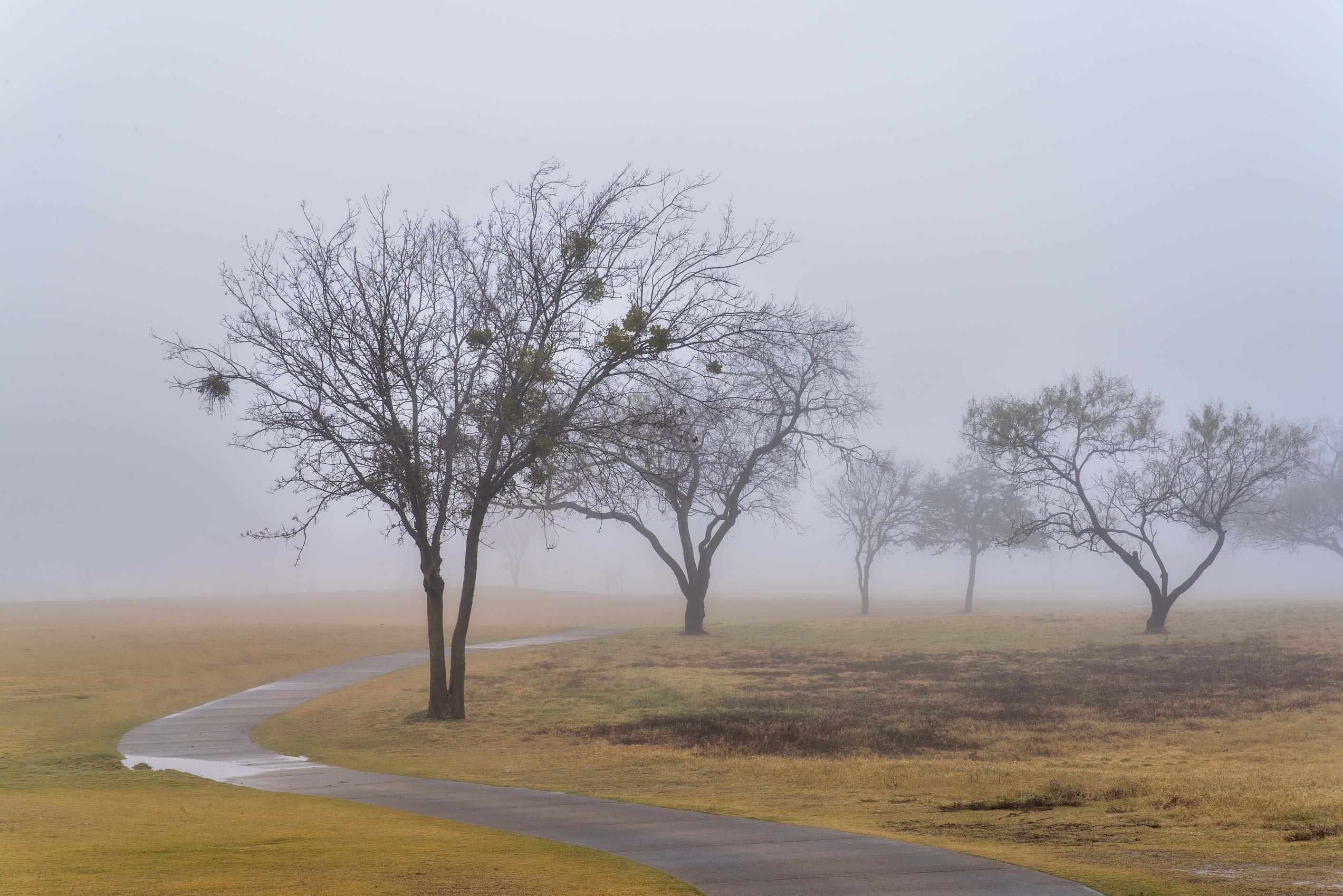 Group of trees in fog on Texas A&M Campus golf course. College Station, Texas