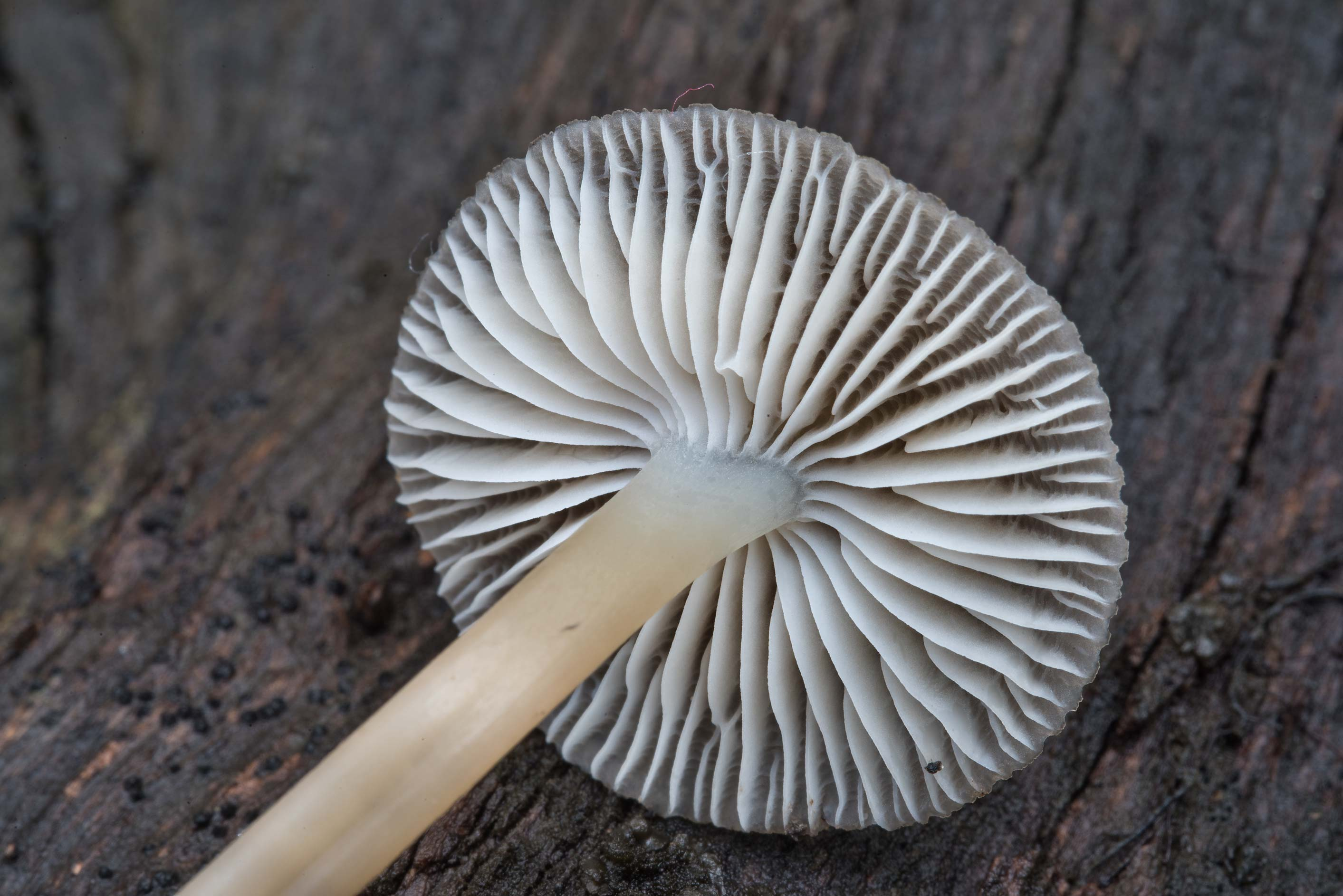 Gills of a common bonnet mushroom Mycena...Nature Trail. College Station, Texas