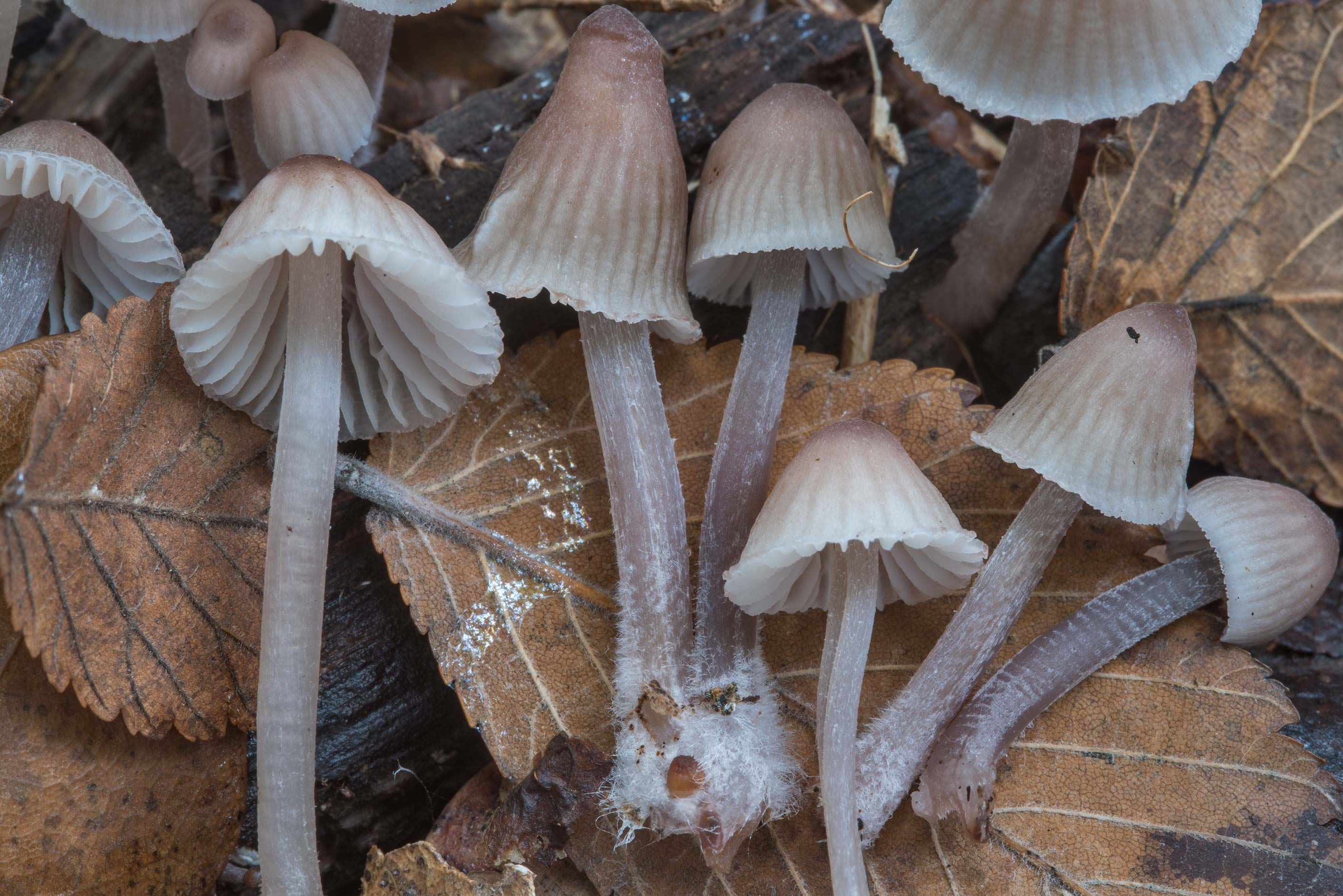 Pinkish bonnet (Mycena) mushrooms in Bee Creek Park. College Station, Texas