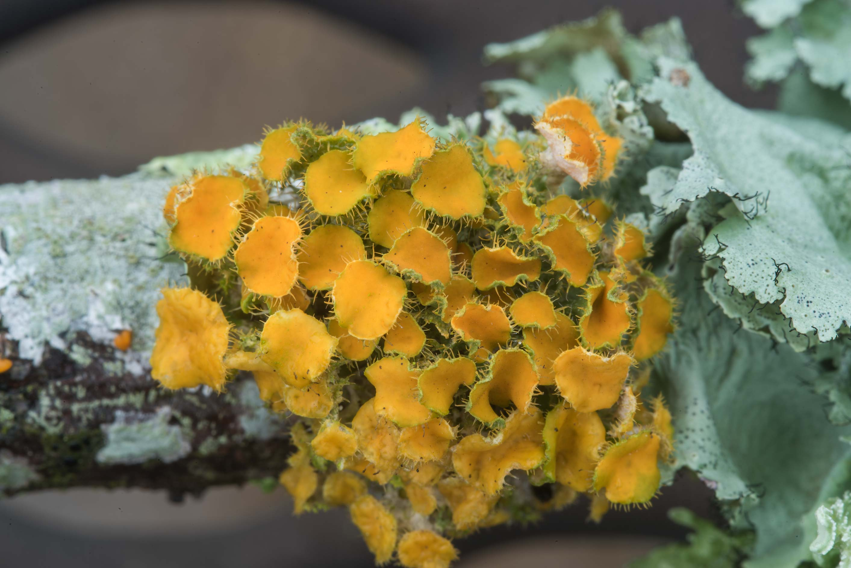 Golden eye lichen (Teloschistes chrysophthalmus...Bee Creek Park. College Station, Texas