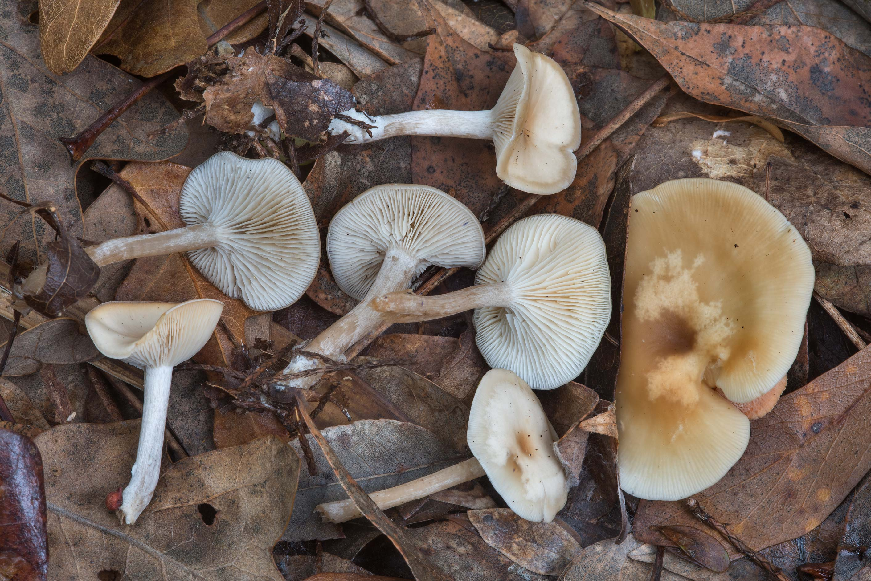 Funnel mushrooms (Clitocybe) in Hensel Park. College Station, Texas