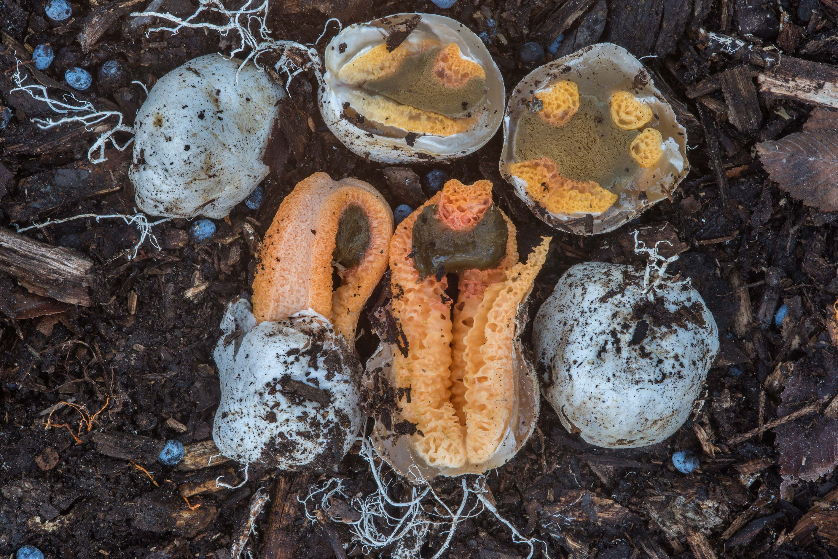 Eggs and young columned stinkhorn mushrooms...Bee Creek Park. College Station, Texas