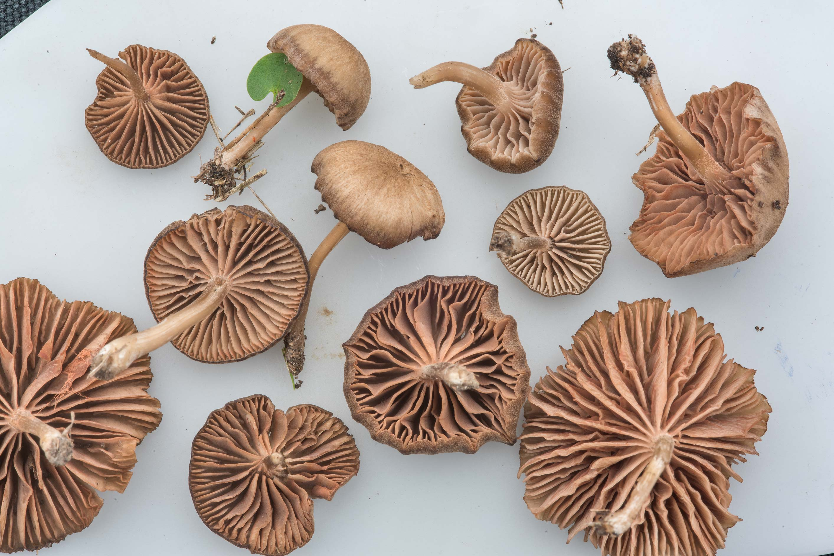 Nolanea mushrooms collected on Aggie Polo Fields...Memorial. College Station, Texas