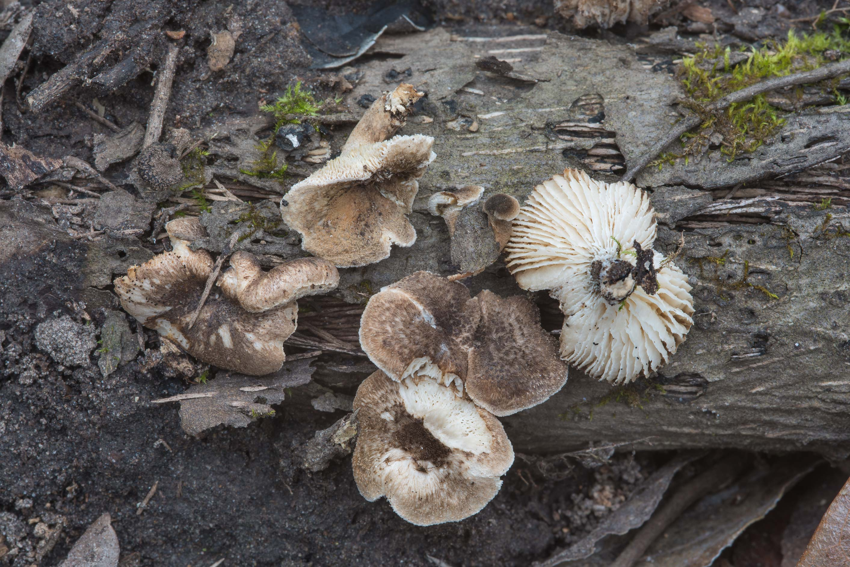 Tiger sawgill mushrooms (Lentinus tigrinus) in Hensel Park. College Station, Texas