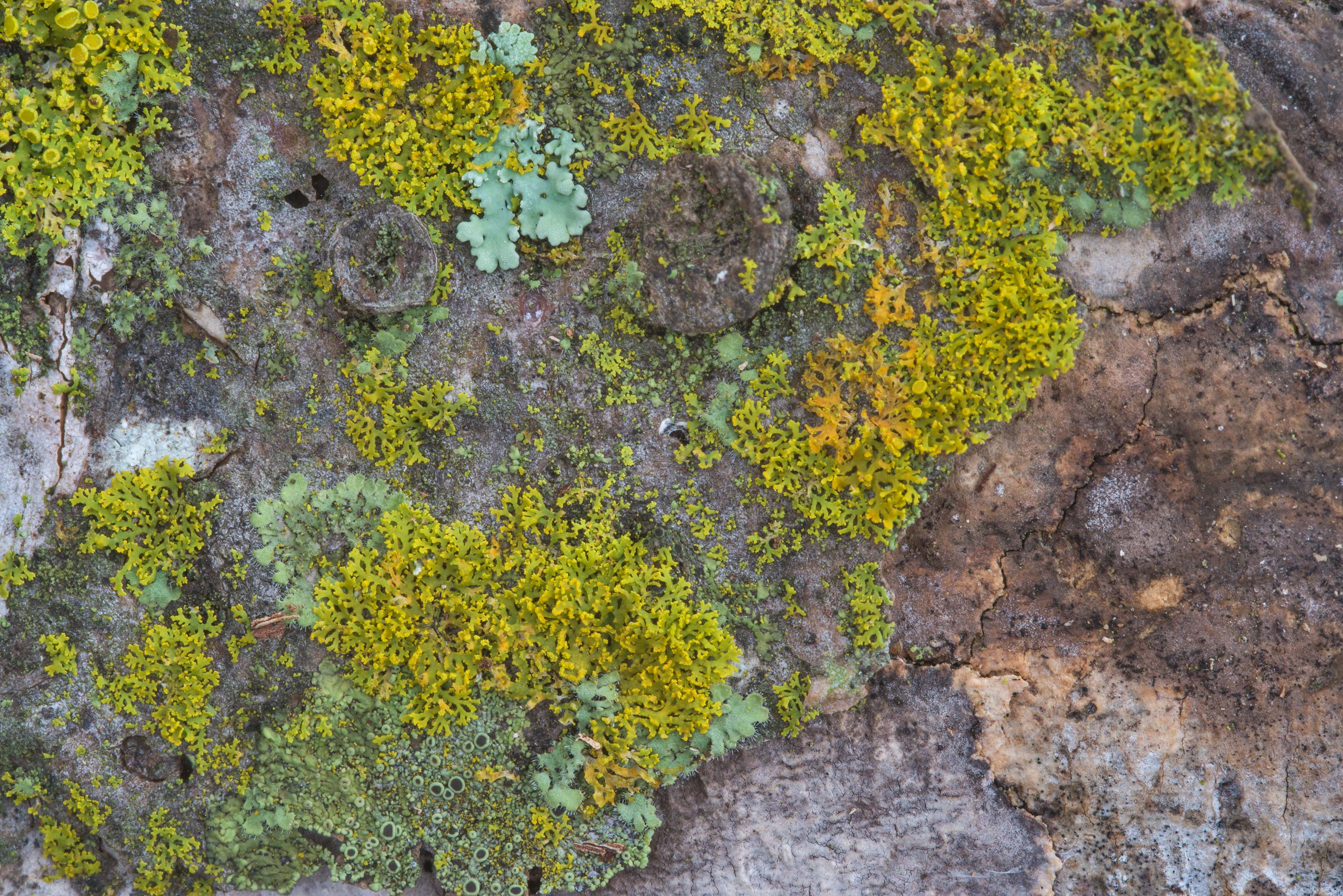 Various lichens in Wolf Pen Creek Park. College Station, Texas