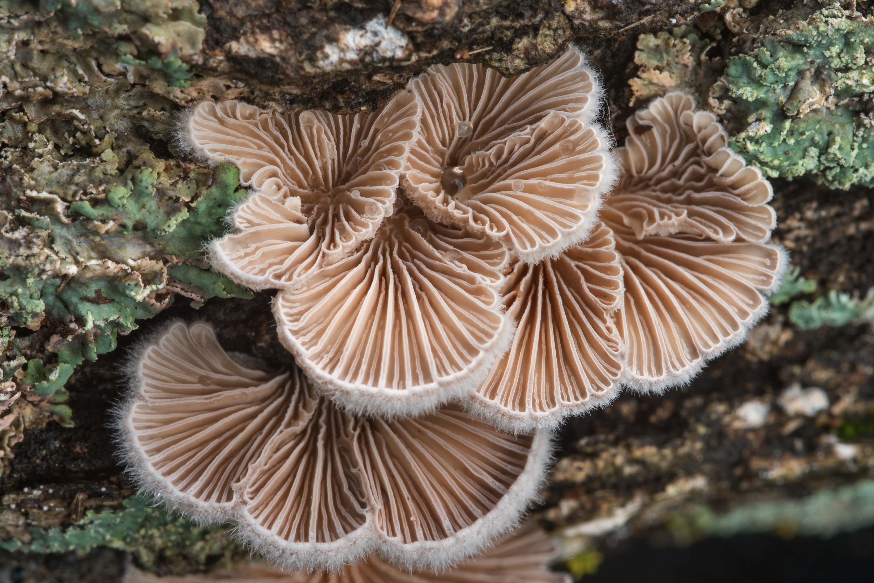 Split gill fungus Schizophyllum commune on a...Bee Creek Park. College Station, Texas