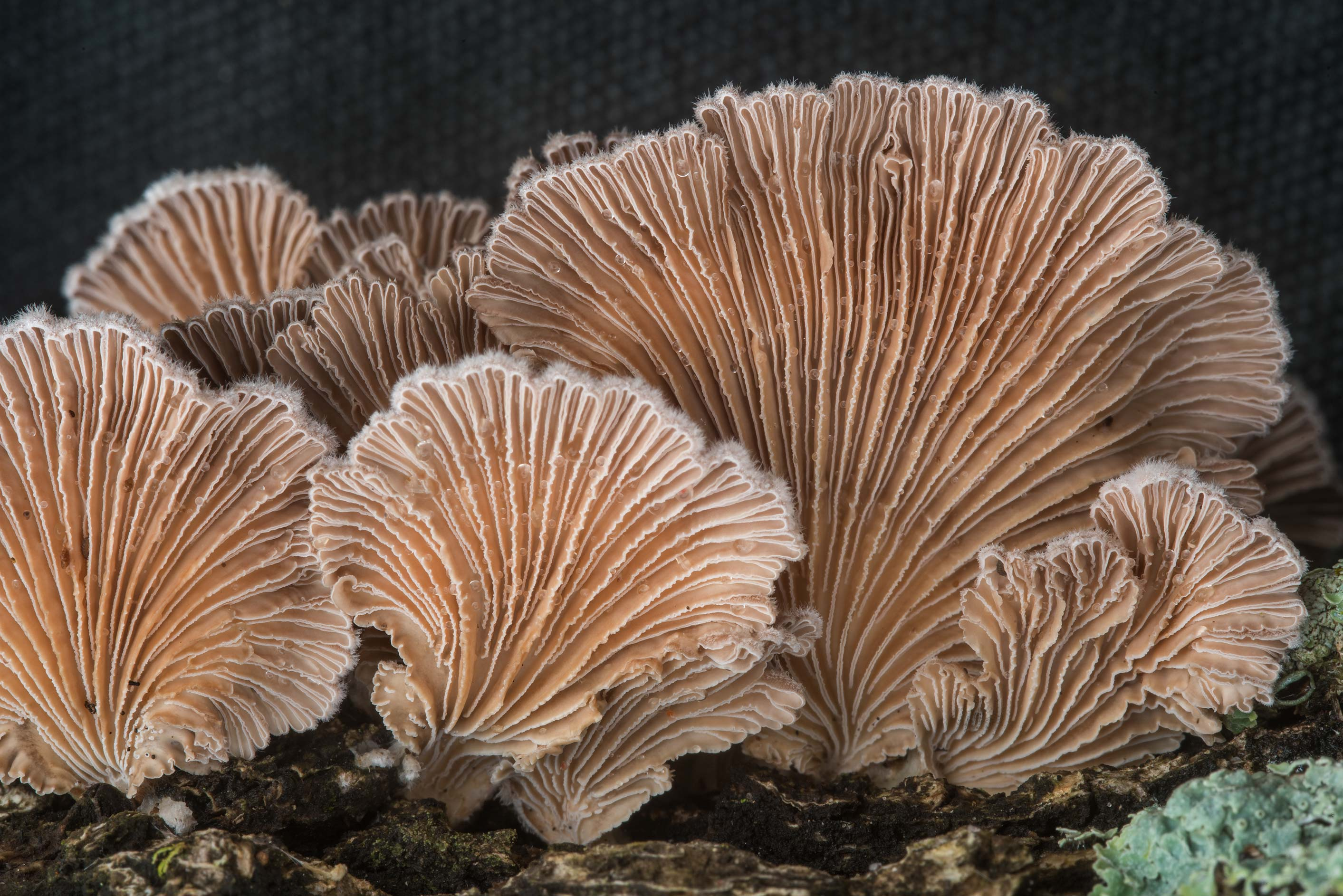 Gills of split gill fungus Schizophyllum commune in Bee Creek Park. College Station, Texas