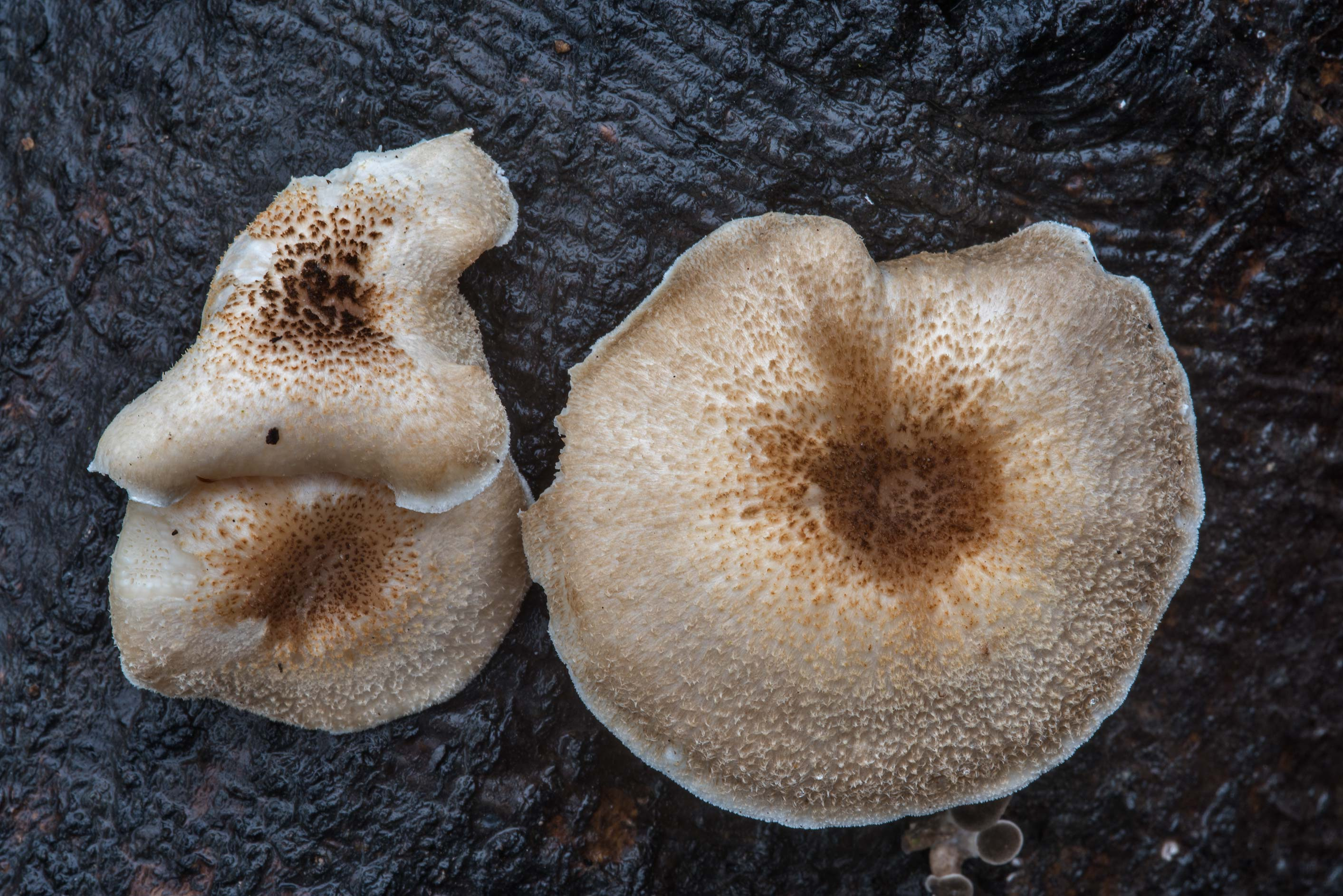 Tiger sawgill mushrooms (Lentinus tigrinus) in Bee Creek Park. College Station, Texas