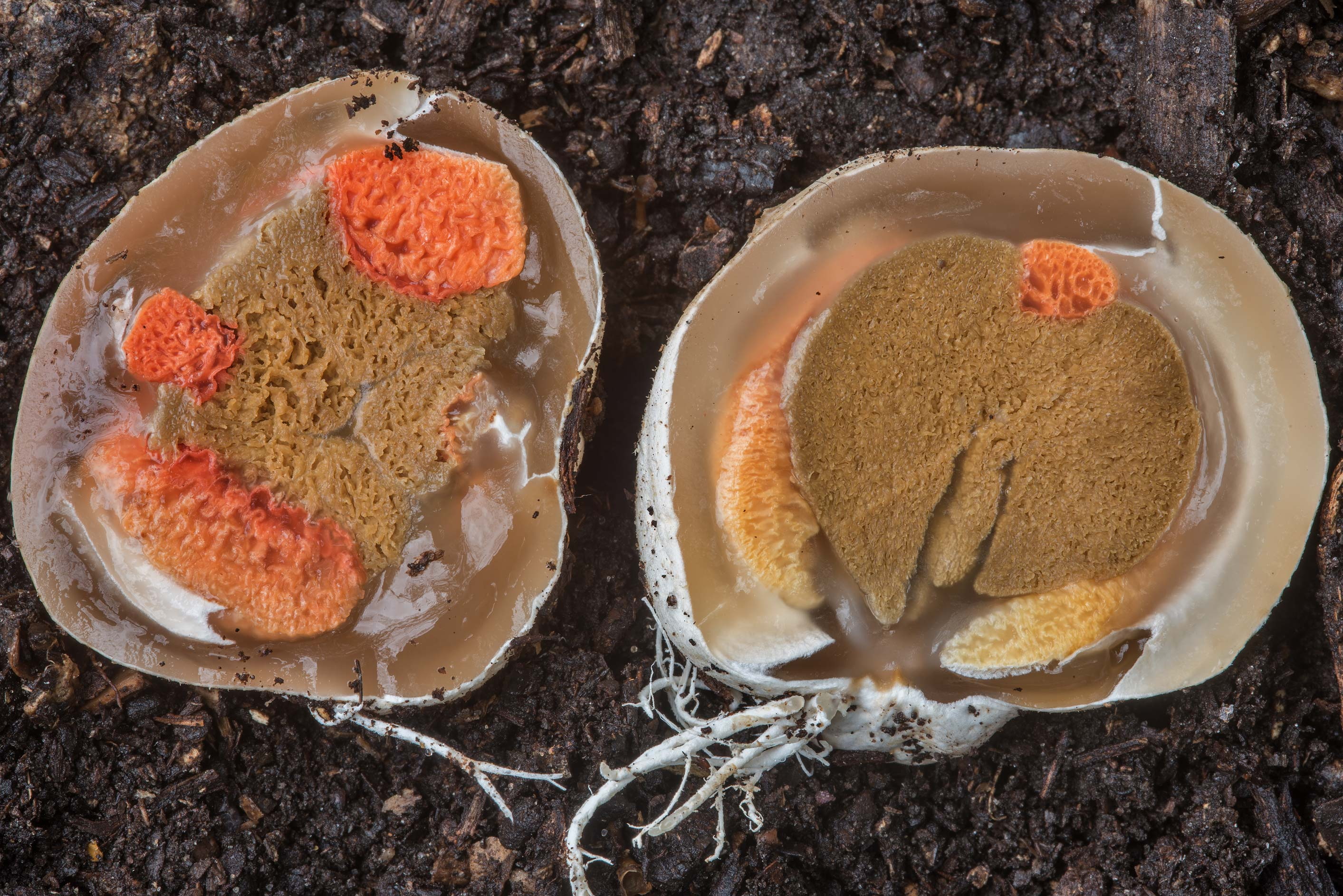 Dissected egg of Columned Stinkhorn mushroom...Bee Creek Park. College Station, Texas