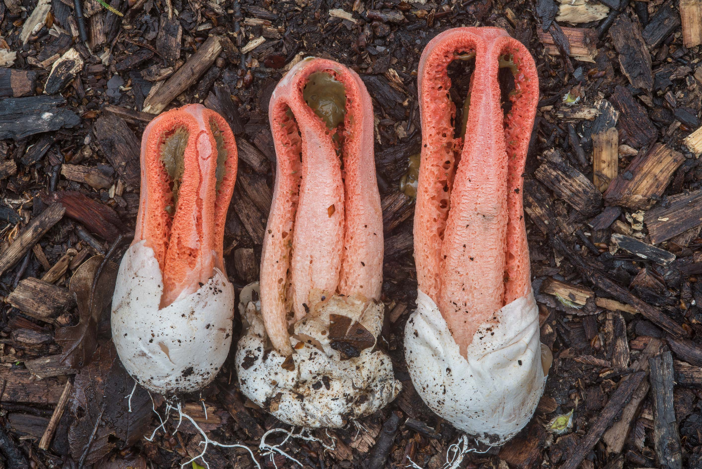 Columned Stinkhorn mushrooms (Linderia columnata...Bee Creek Park. College Station, Texas