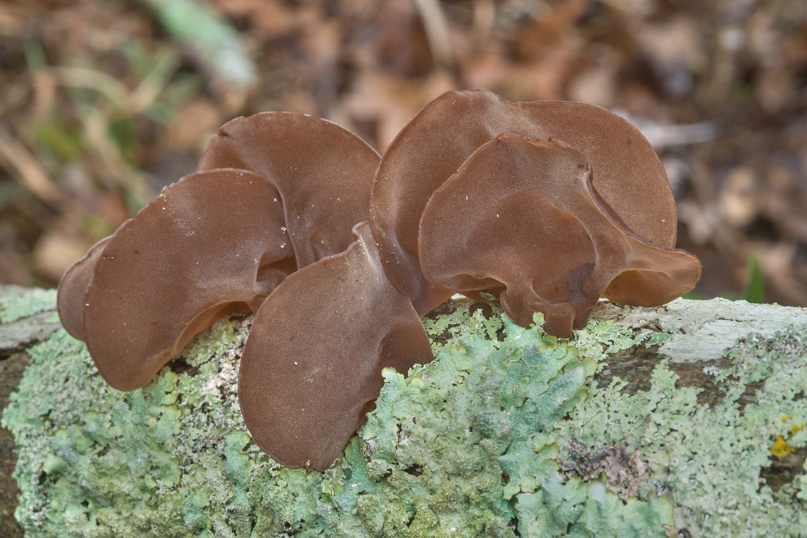 Wood ear mushrooms Auricularia angiospermarum...Ashburn St.. College Station, Texas