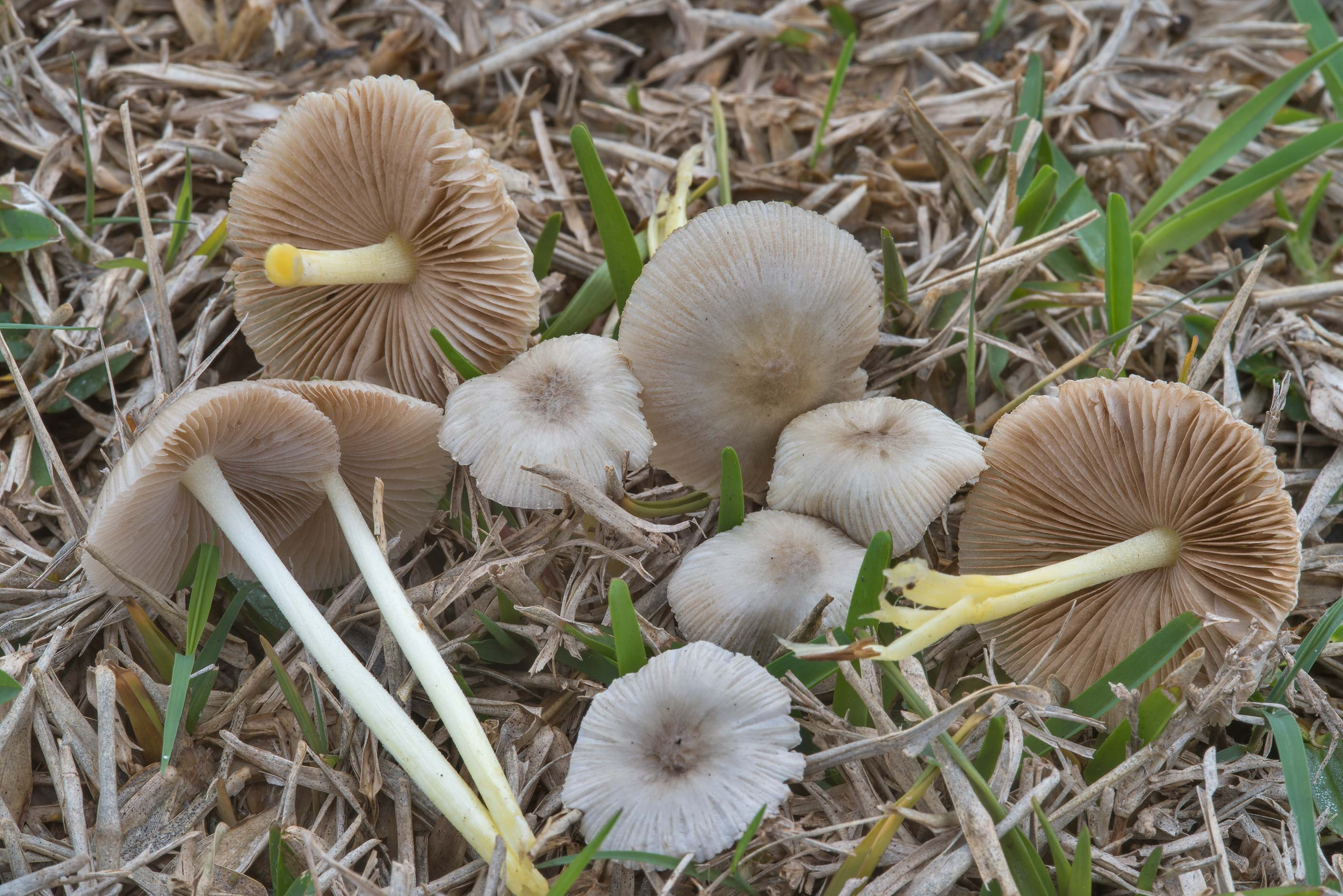 Bolbitius aleuriatus mushrooms among grass on the...at Texas Ave.. College Station, Texas