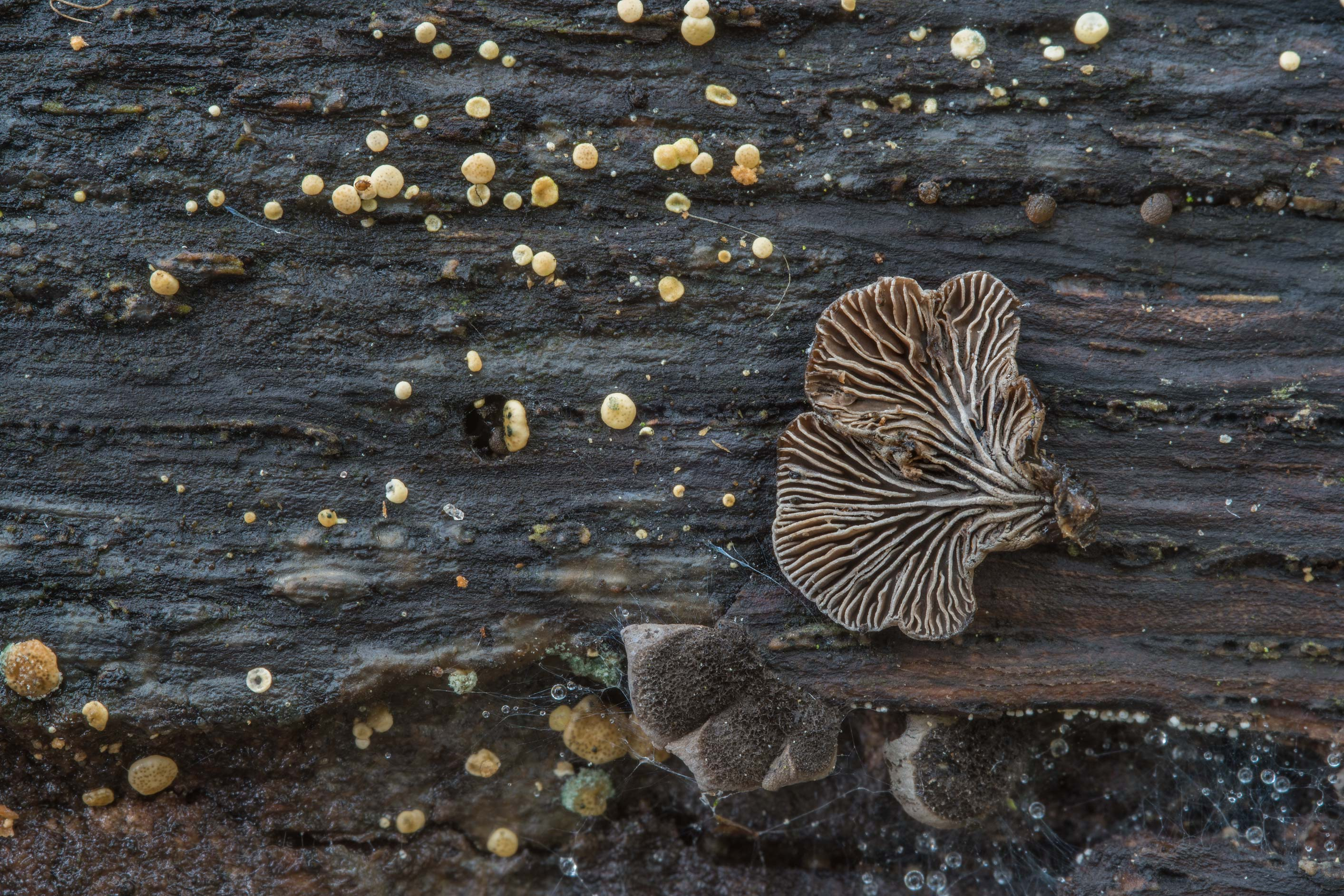 Gills of Resupinatus trichotis mushrooms in Hensel Park. College Station, Texas