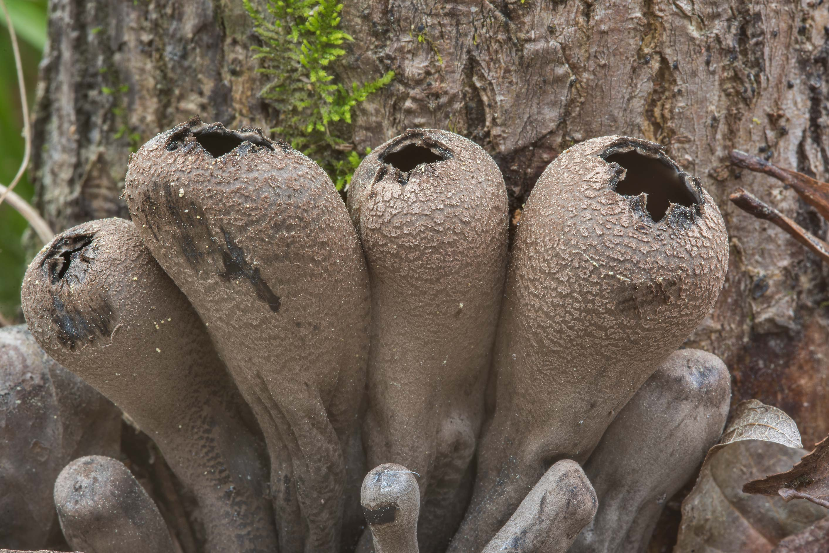 Close up of the Devil's Urn mushrooms (Urnula...Forest, near Huntsville. Texas
