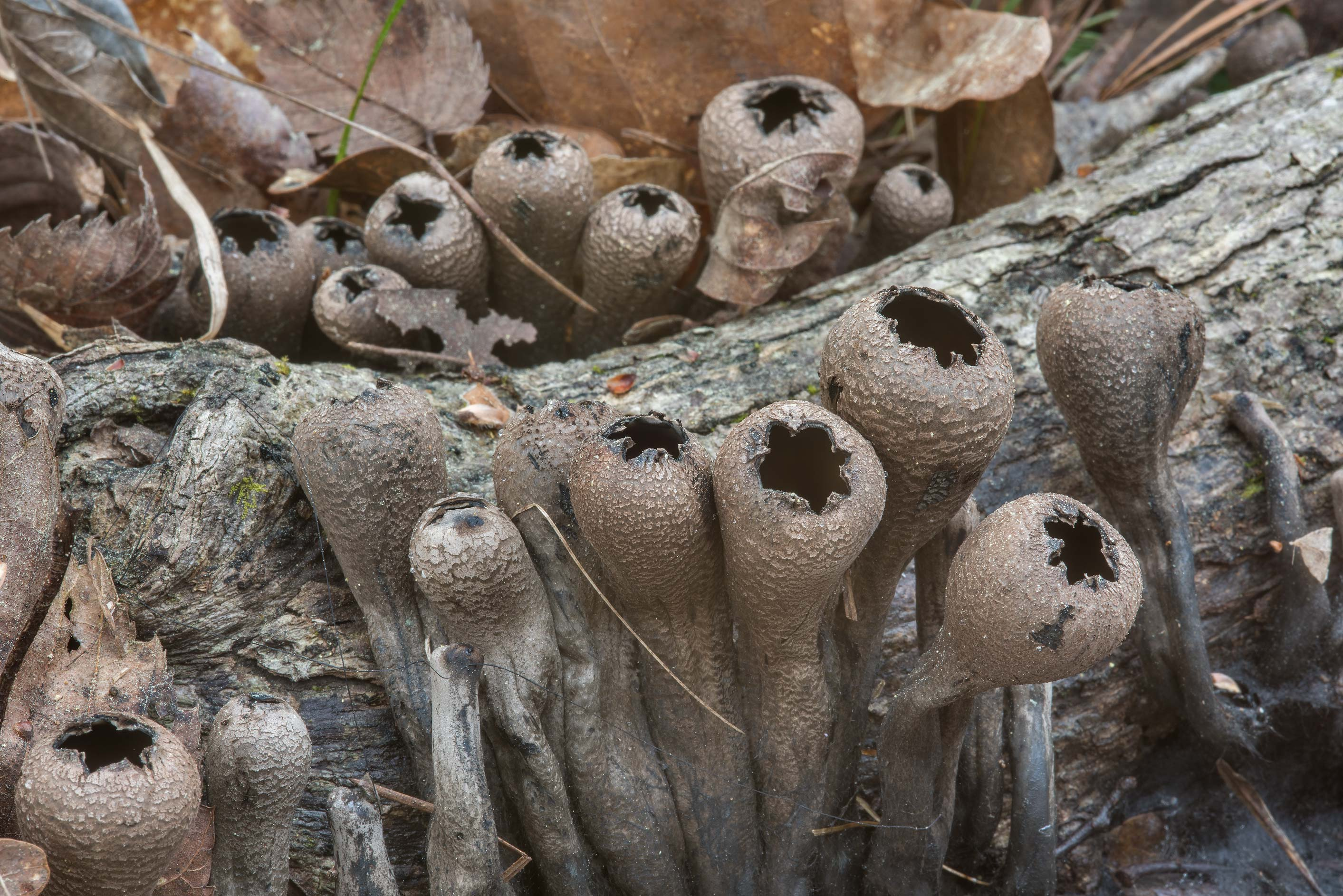 The Devil's Urn mushrooms (Urnula craterium) on a...Forest, near Huntsville. Texas