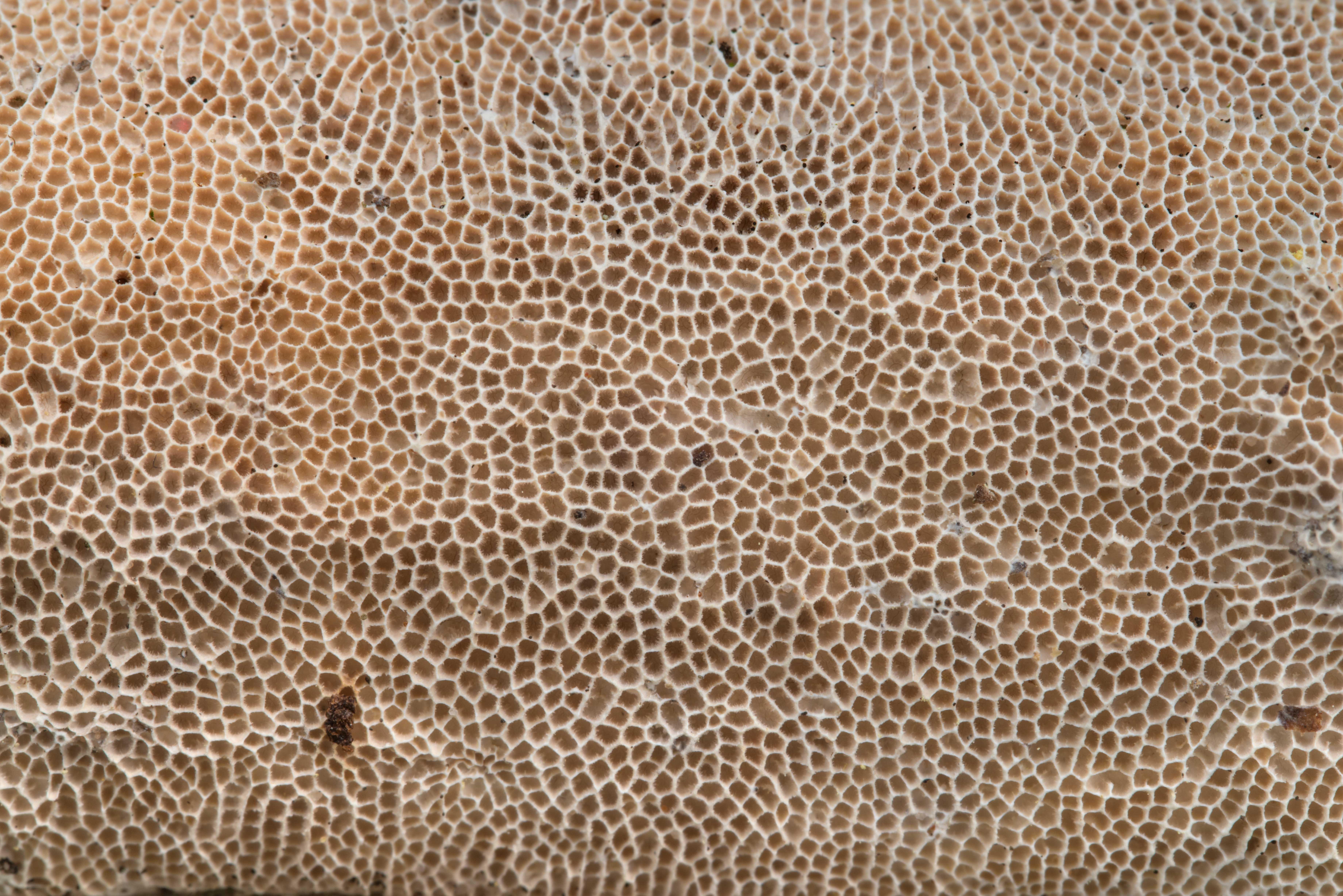 Photo 2234-27: Texture of a porous mushroom Trametes ...