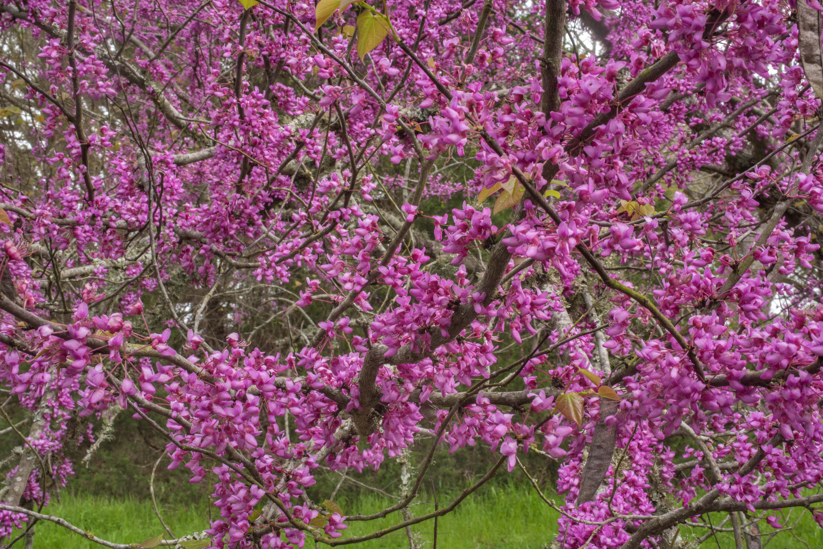 Blooming redbud tree (Cercis canadensis) in...State Historic Site. Washington, Texas
