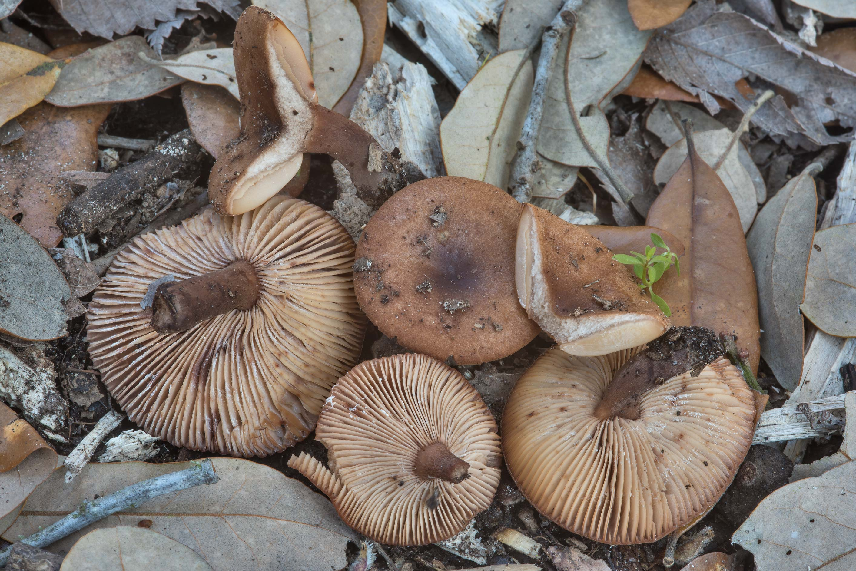 Milkcap mushrooms (Lactarius) near a road along...Unit Somerville Lake State Park. Texas