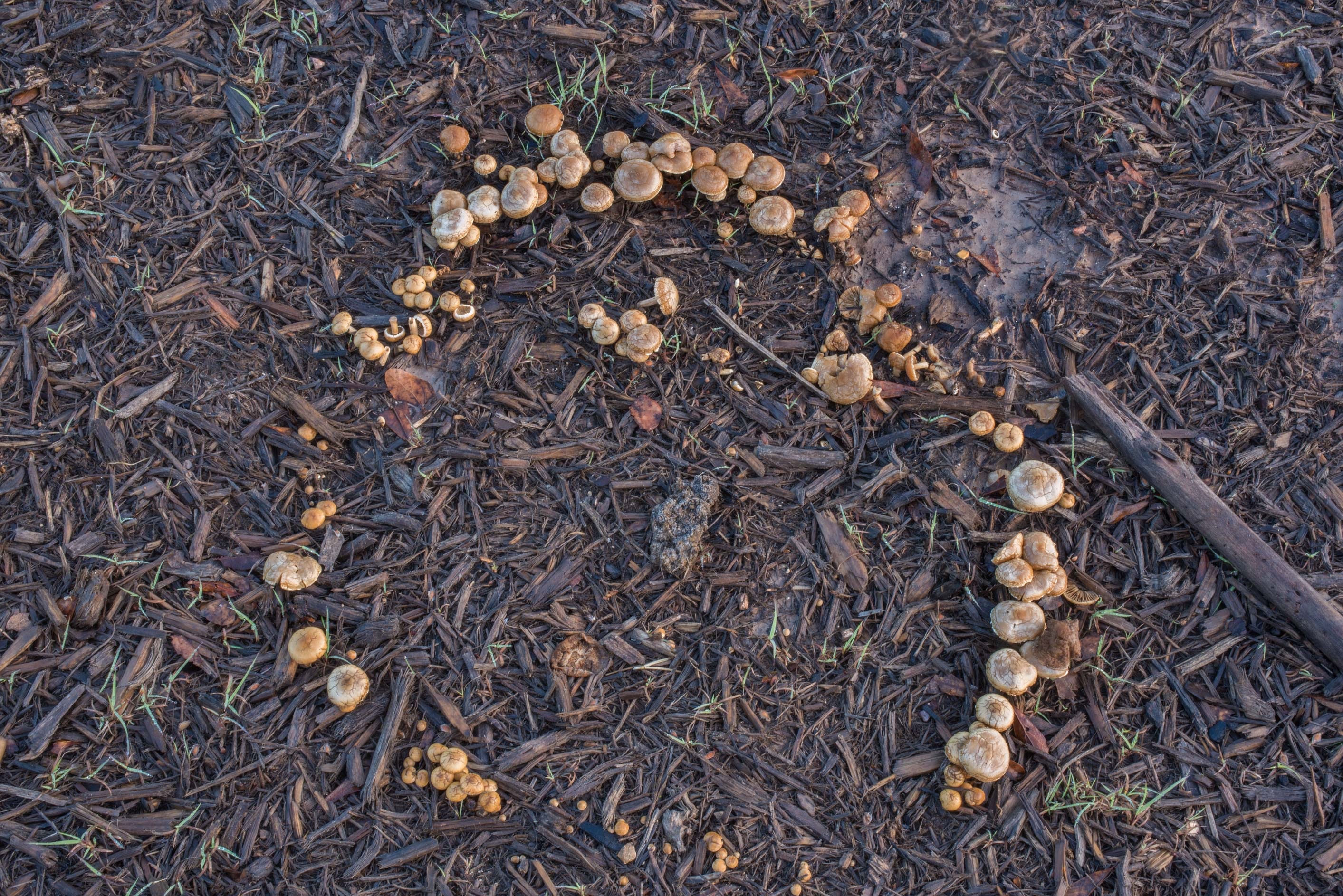Fairy ring of fieldcap mushrooms (Agrocybe...Creek Park. College Station, Texas
