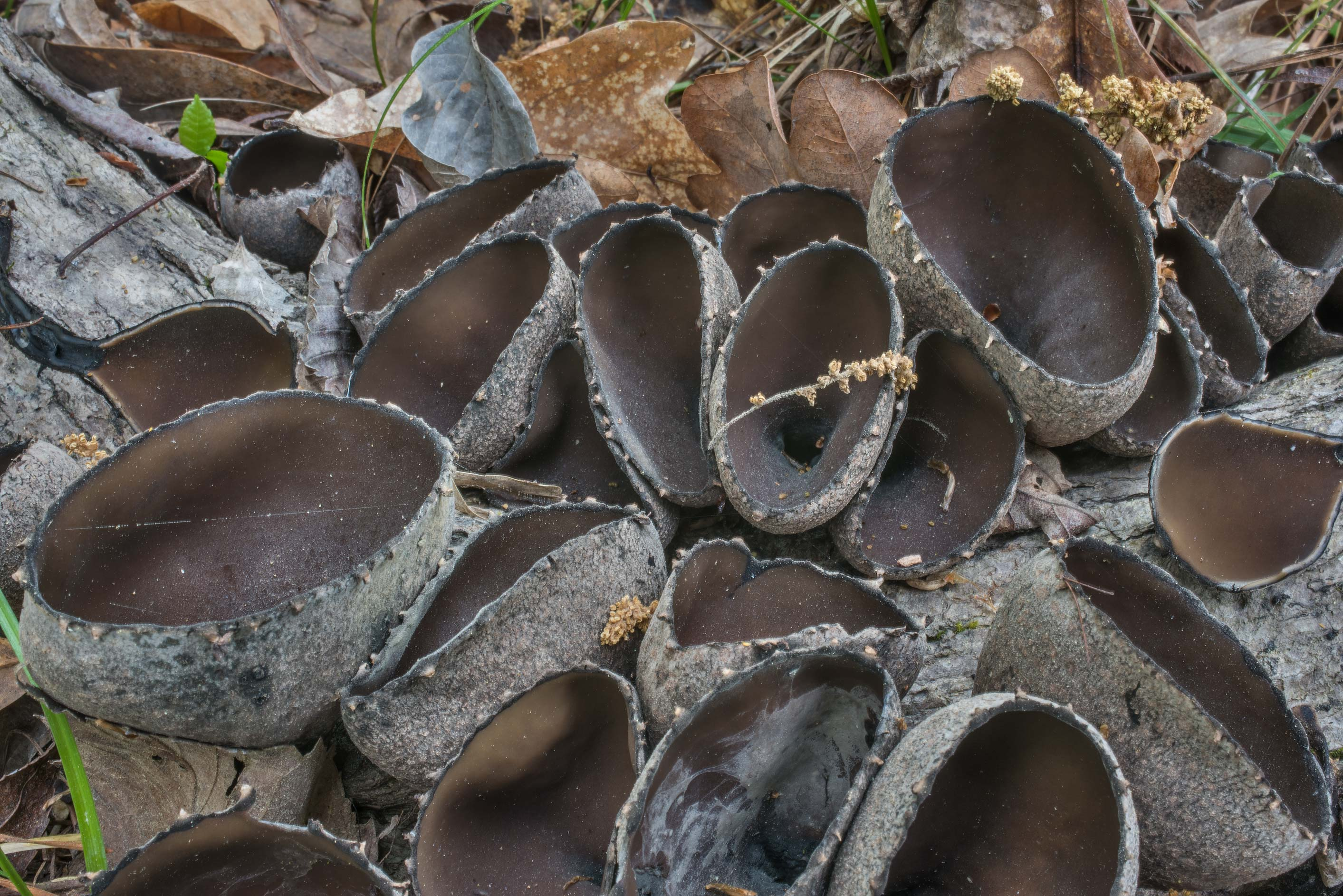 The Devil's Urn mushrooms (Urnula craterium) on...National Forest near Huntsville, Texas