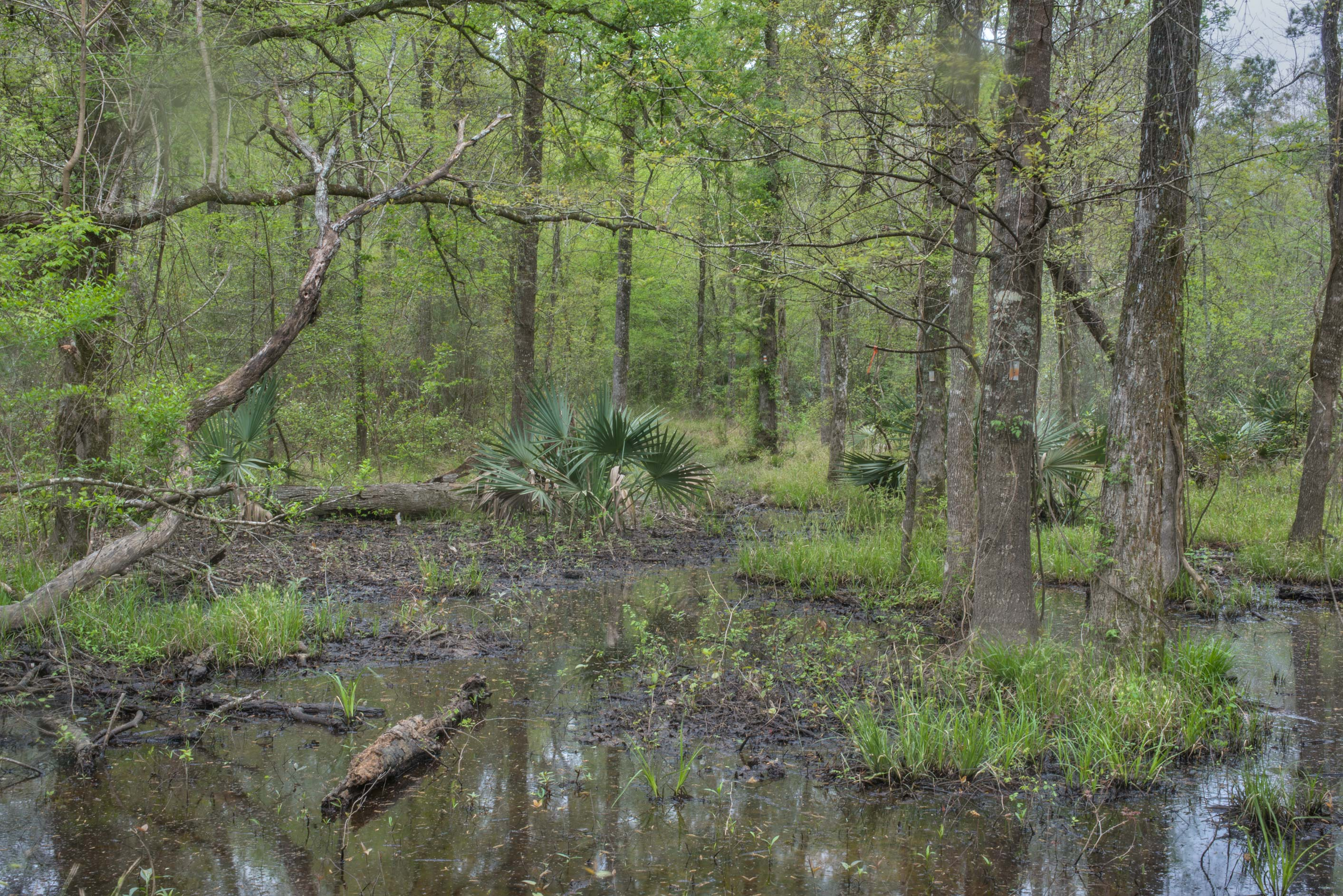 Swampy area on Caney Creek section of Lone Star...National Forest near Huntsville, Texas