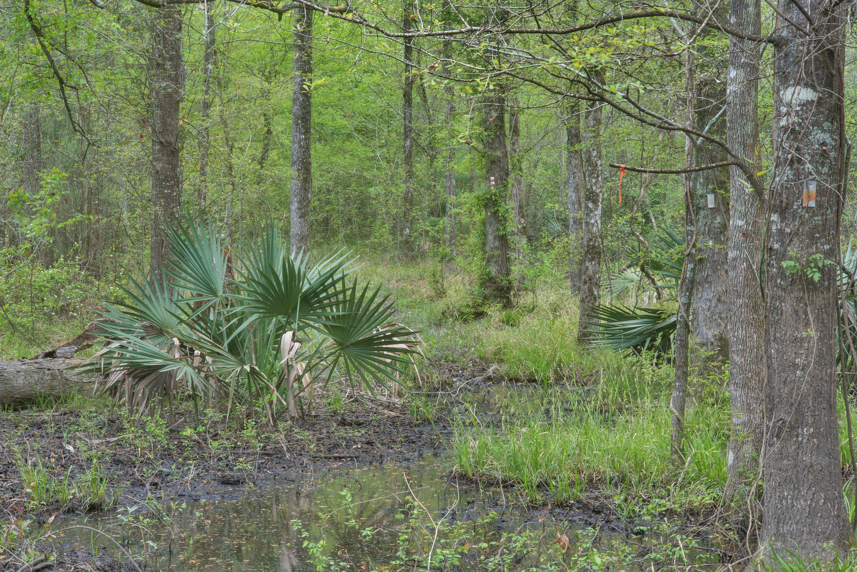 Swampy area with palmetto on Caney Creek section...National Forest near Huntsville, Texas