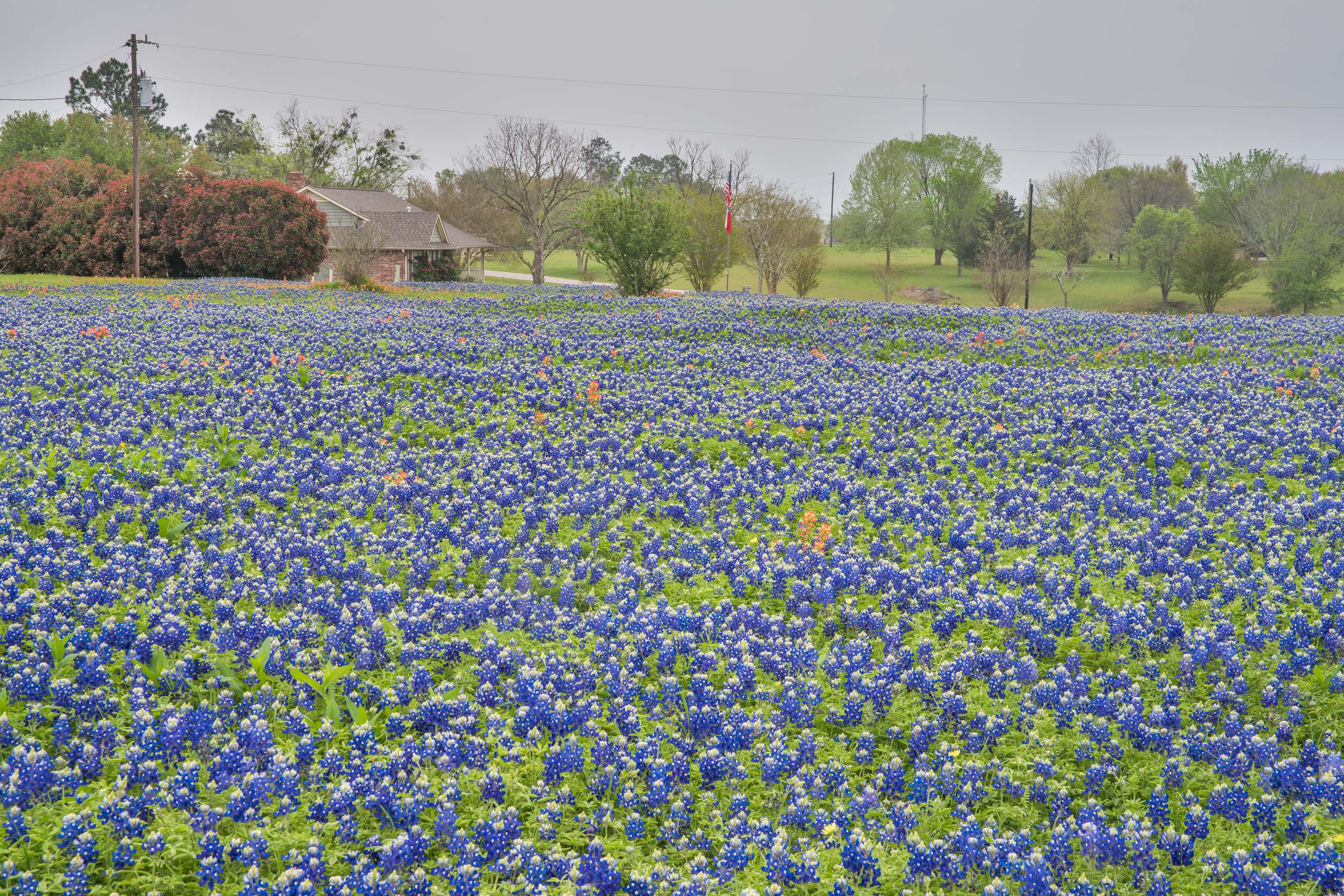Bluebonnet flowers at 9190 Lake Dr. north from Chappell Hill. Texas